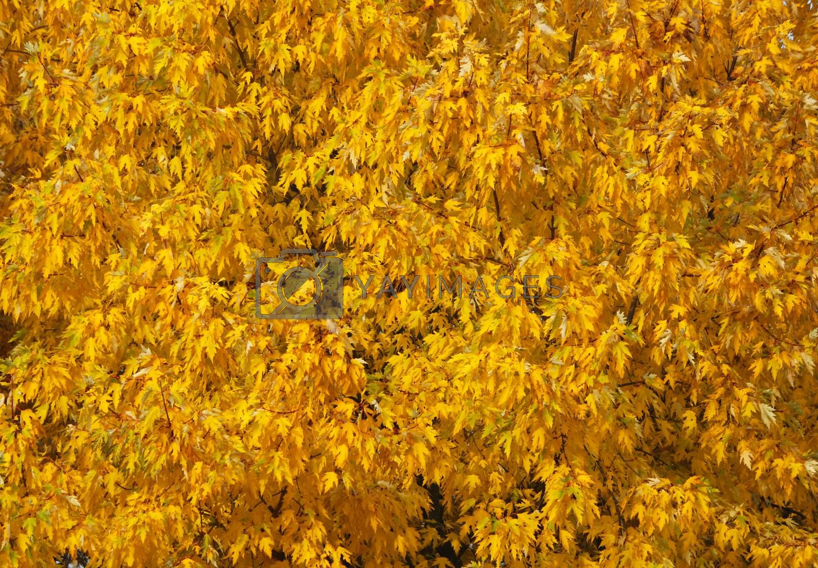 Fragment of the thick crown of a tree in autumn with a lot of leaves of yellow color (background image).