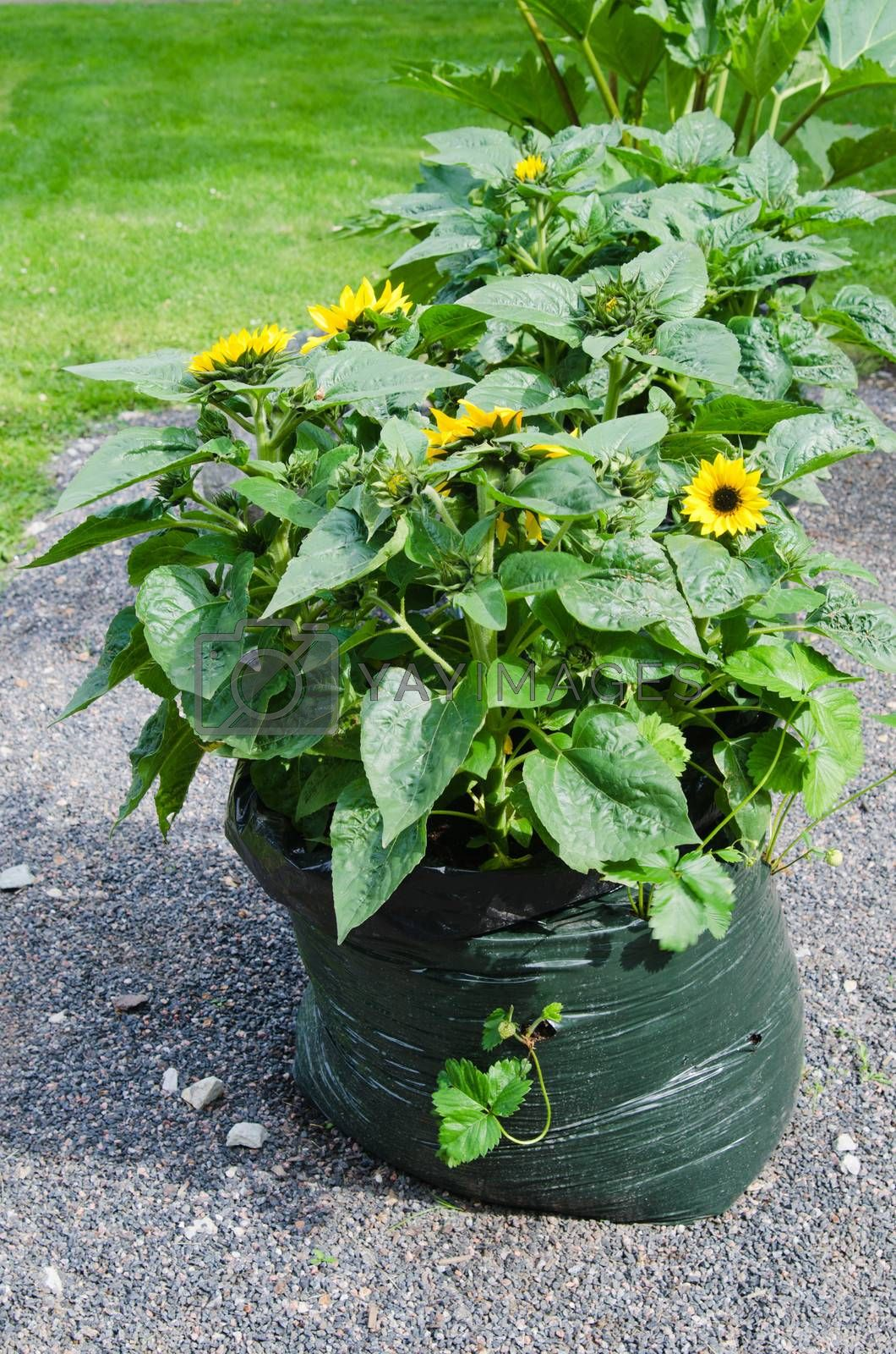 Sunflowers grow in a bag from under garbage