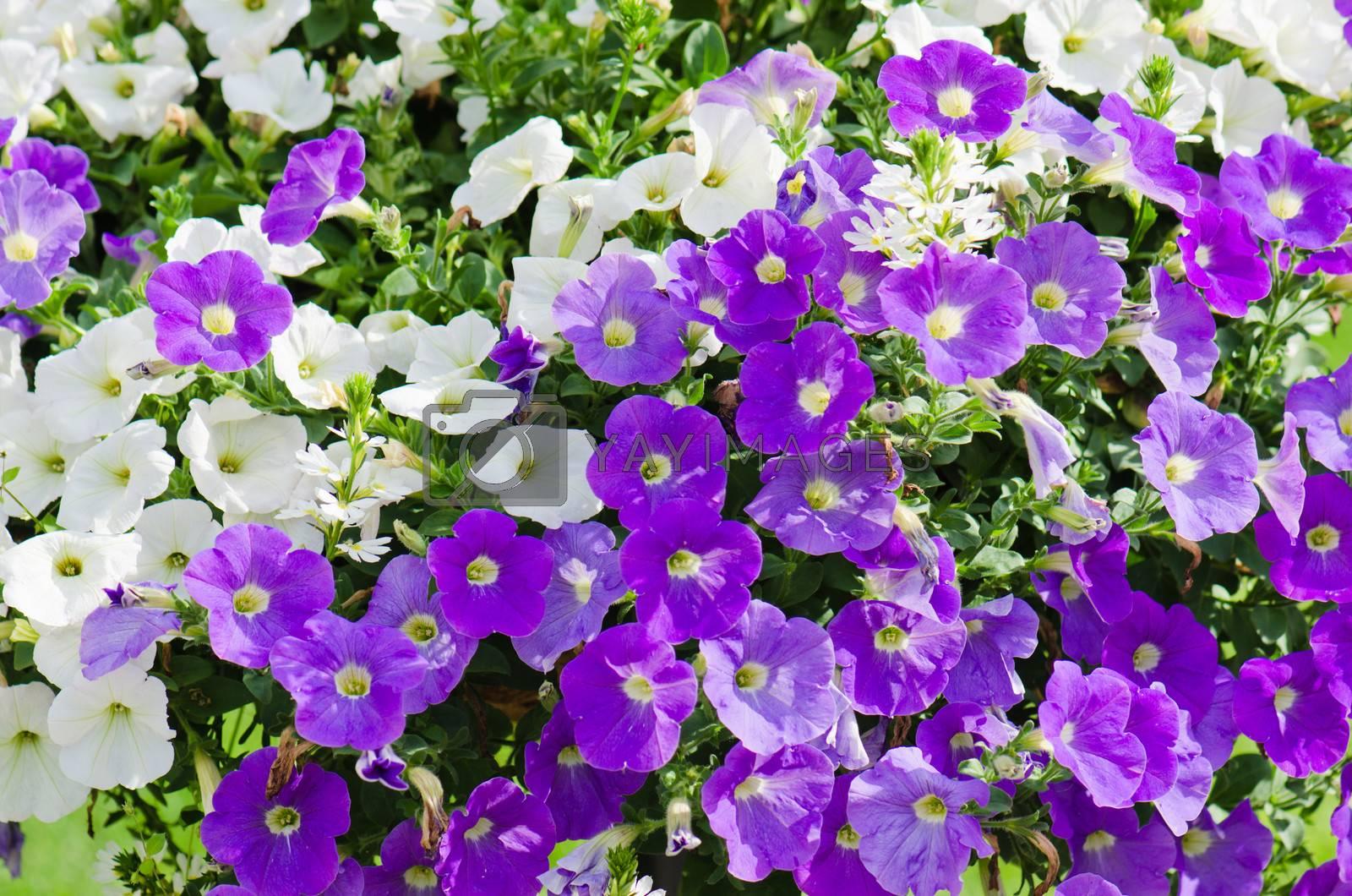 Beautiful white and purple petunia flowers close up