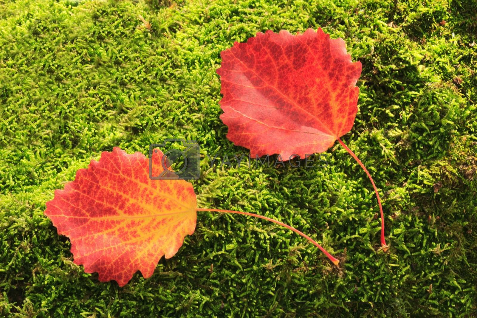 Beautiful red leaves , fallen from aspen, lie on the ground on the background of green moss.