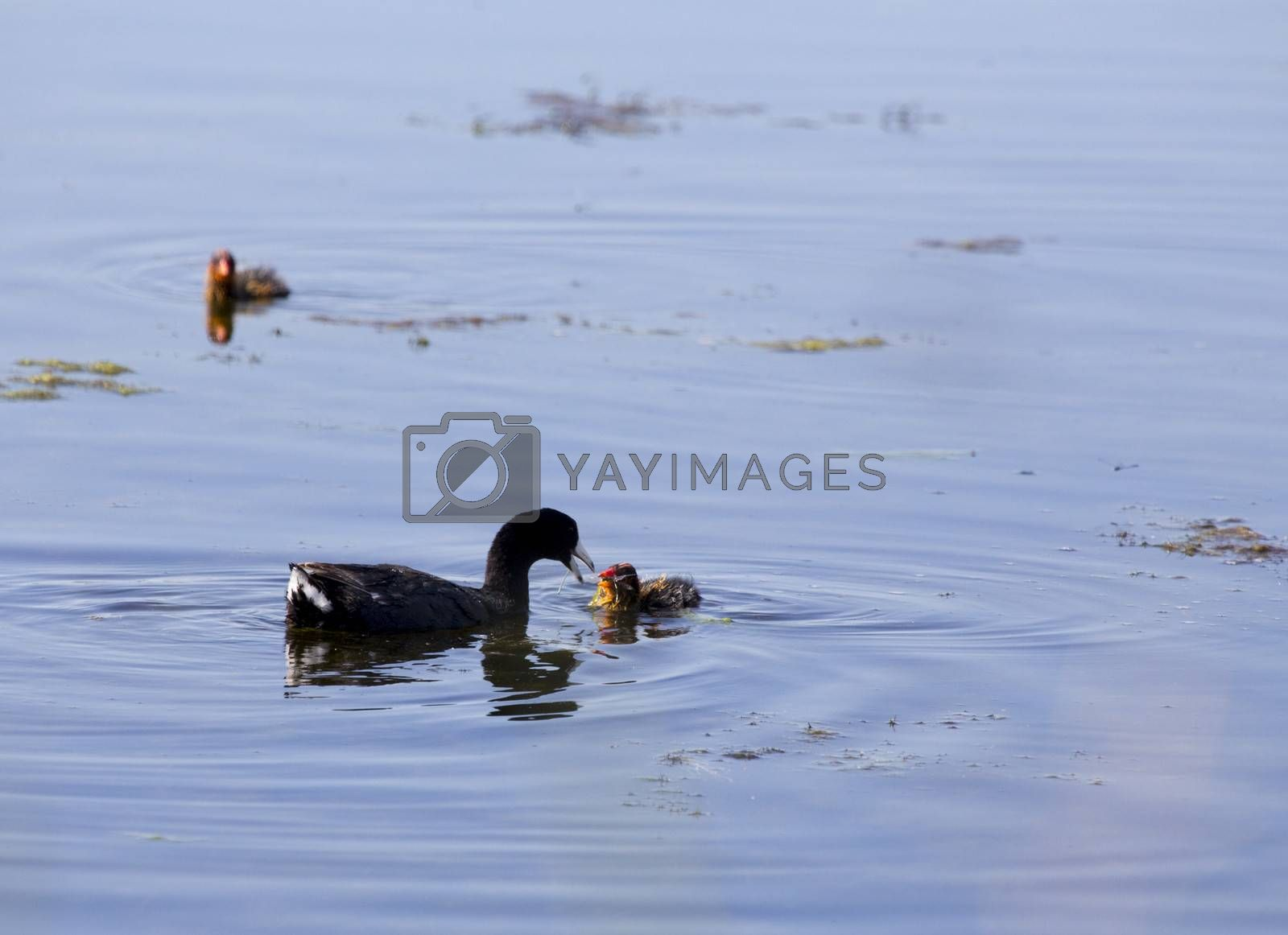 American Coot and babies by pictureguy