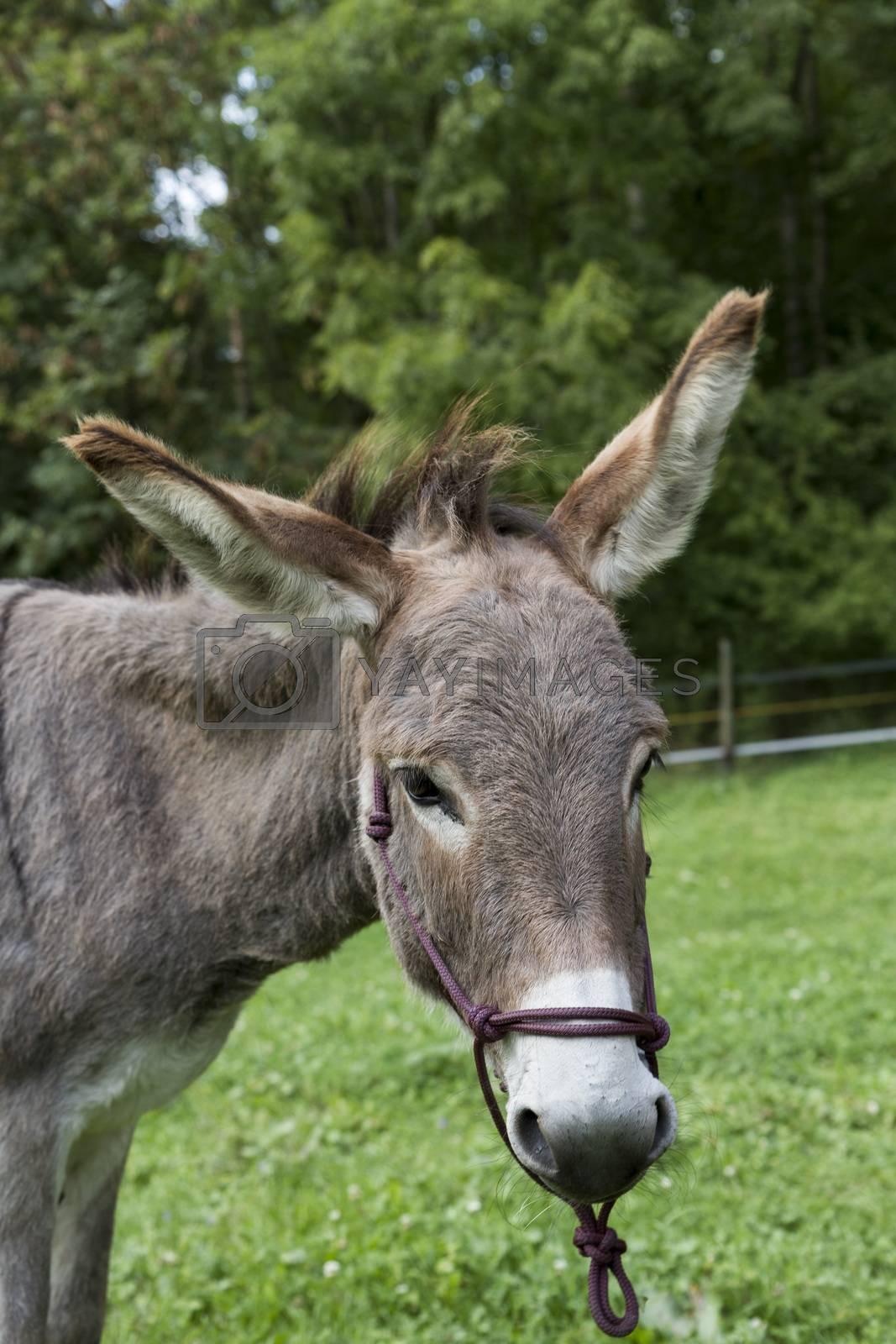 portrait shot of single donkey in green meadow