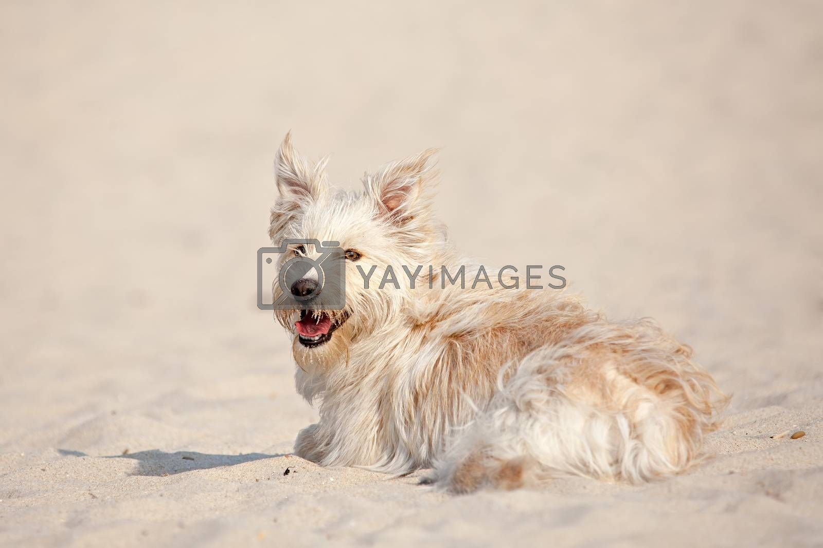 Golden dog at the beach by ajn