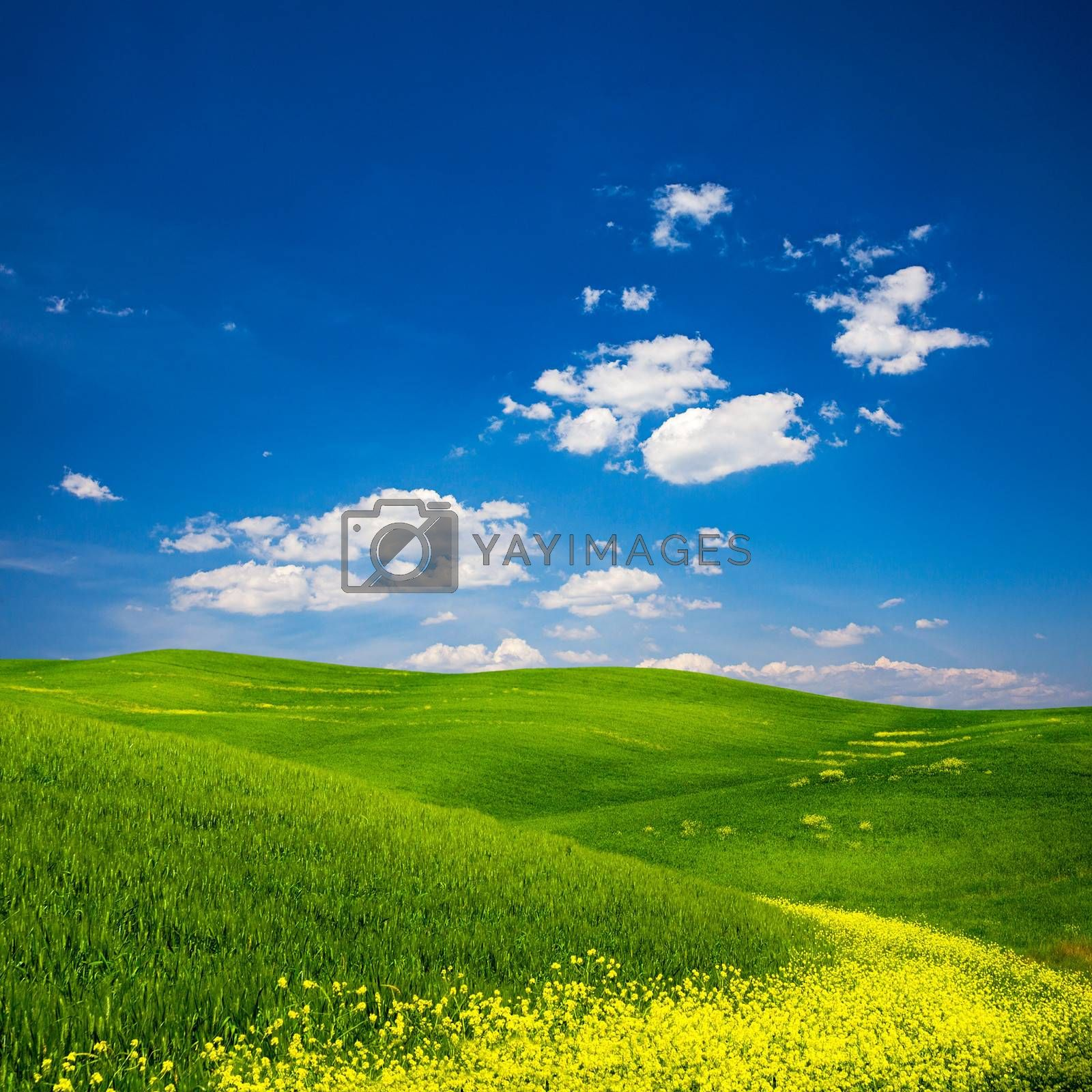 Beautiful view of a green field with yellow flowers in Tuscany, Italy.