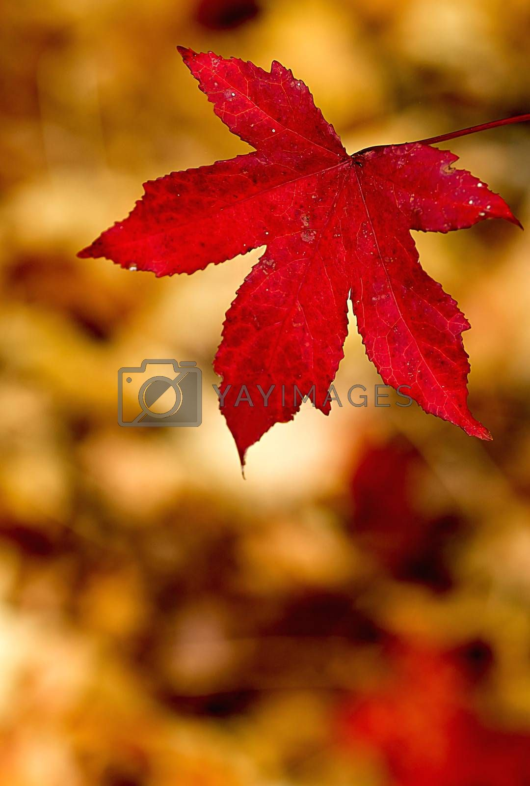 Maple leaf turned red in autumn , gold background