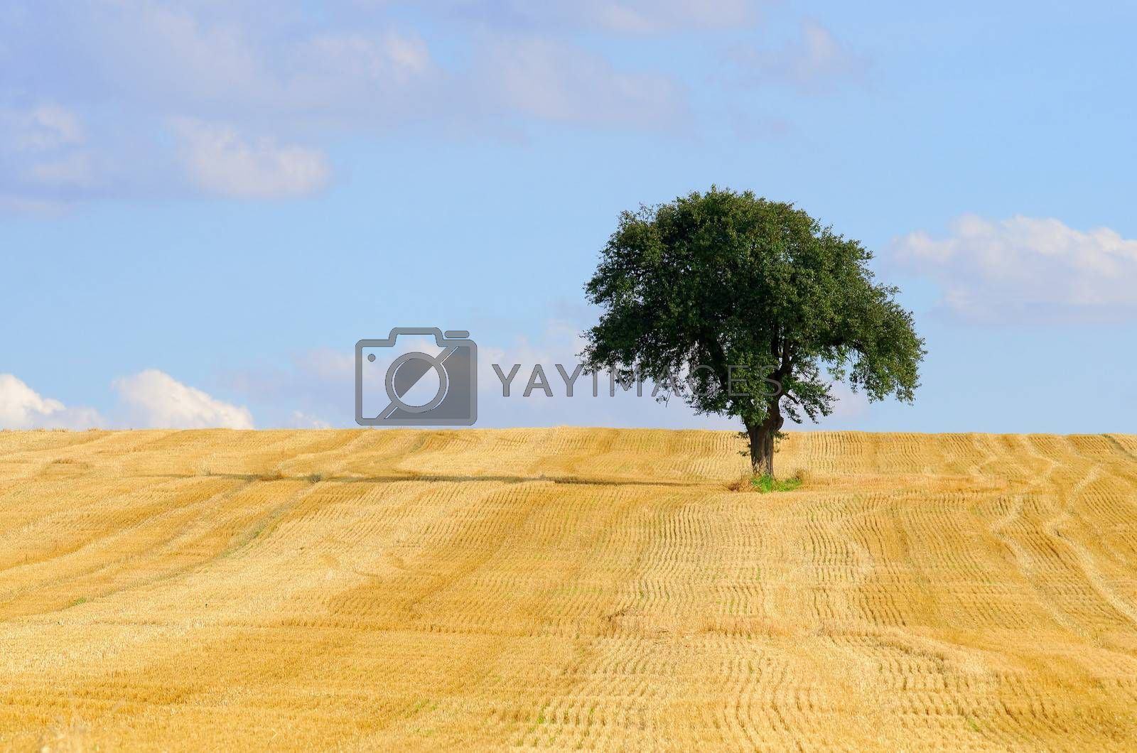isolated tree in a harvested field