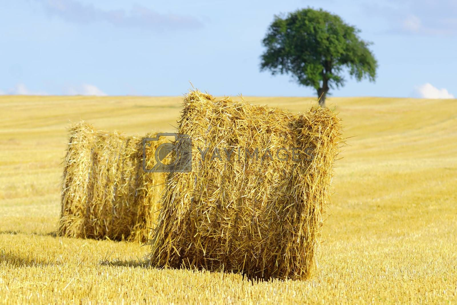 straw bales ,isolated tree in the background