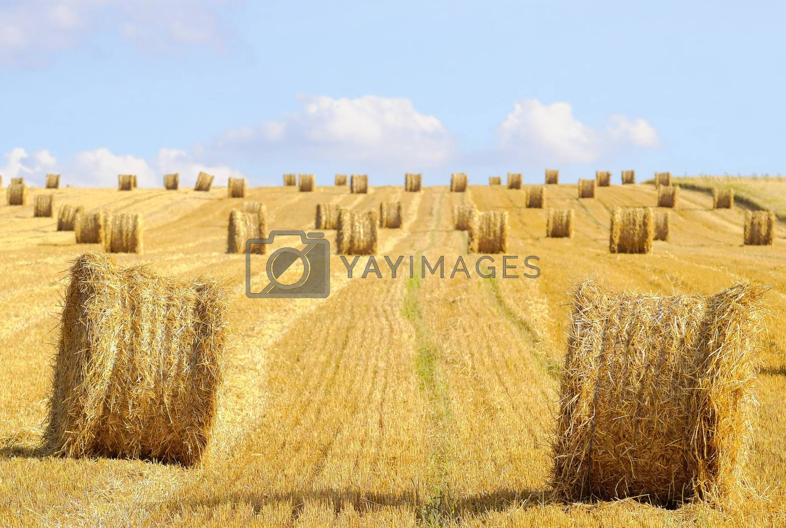 harvested field with straw balls