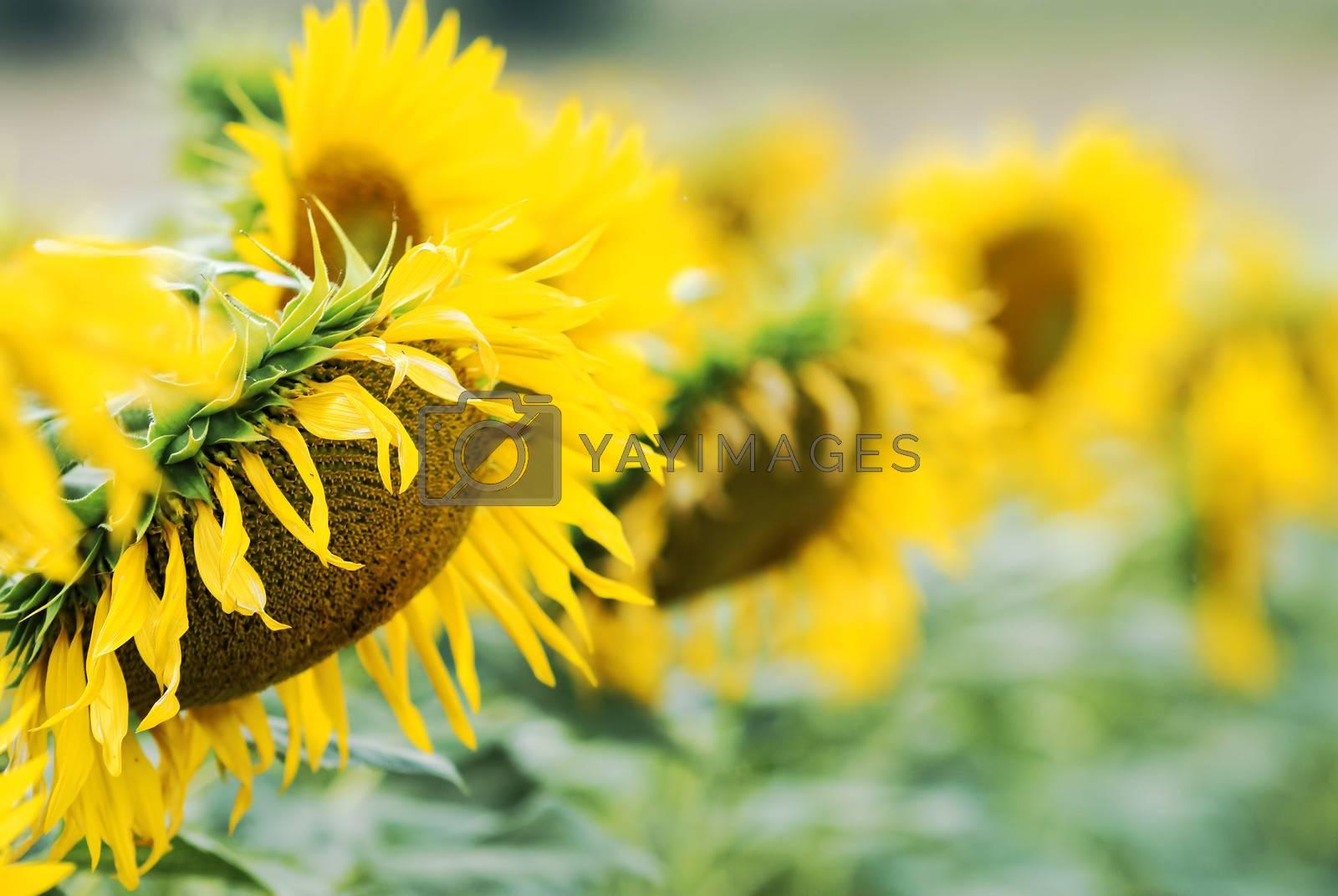 sunflowers by gufoto
