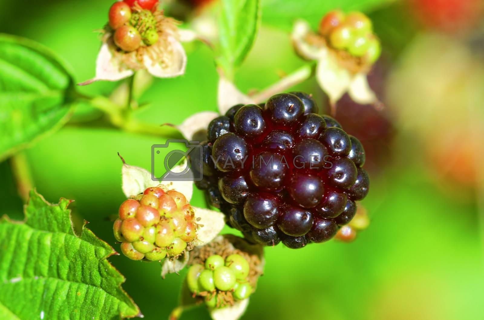 blackberry by gufoto