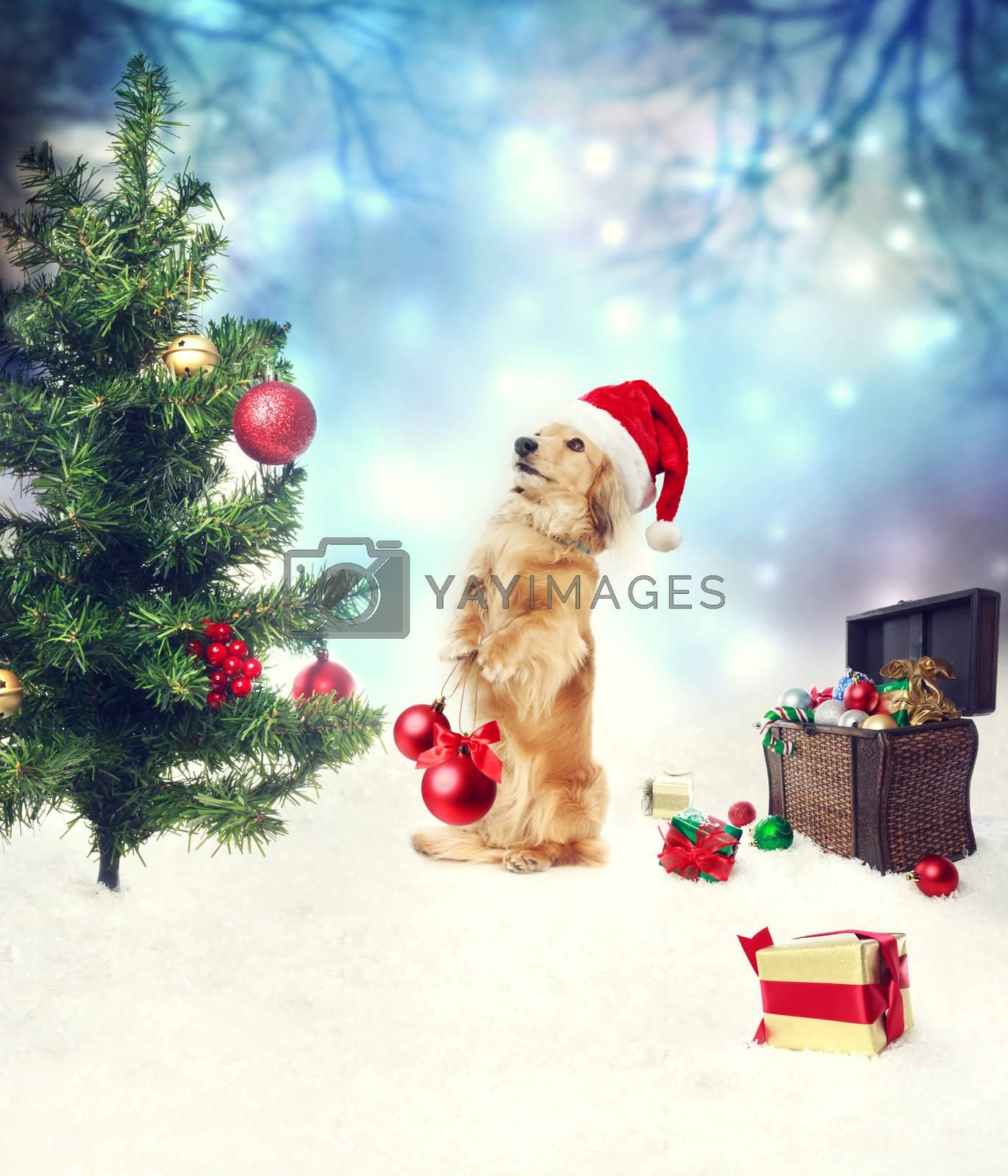 Royalty free image of Dachshund dog decorating christmas tree by melpomene