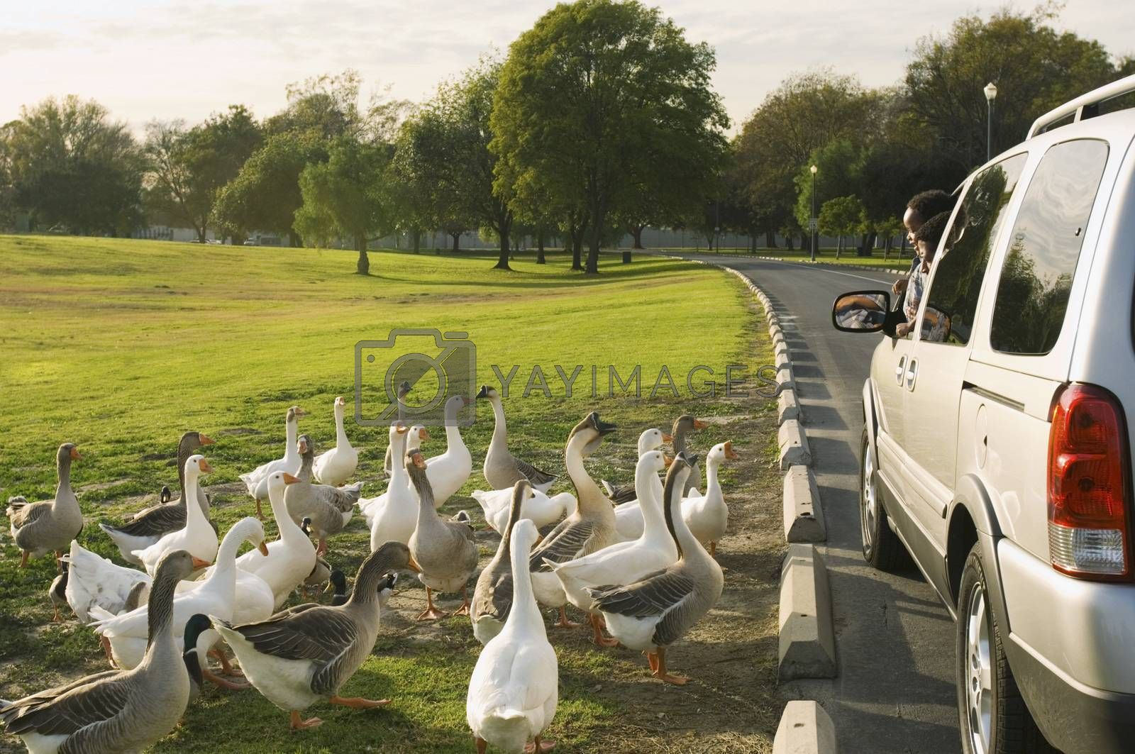 Flock Of White Geese By Car