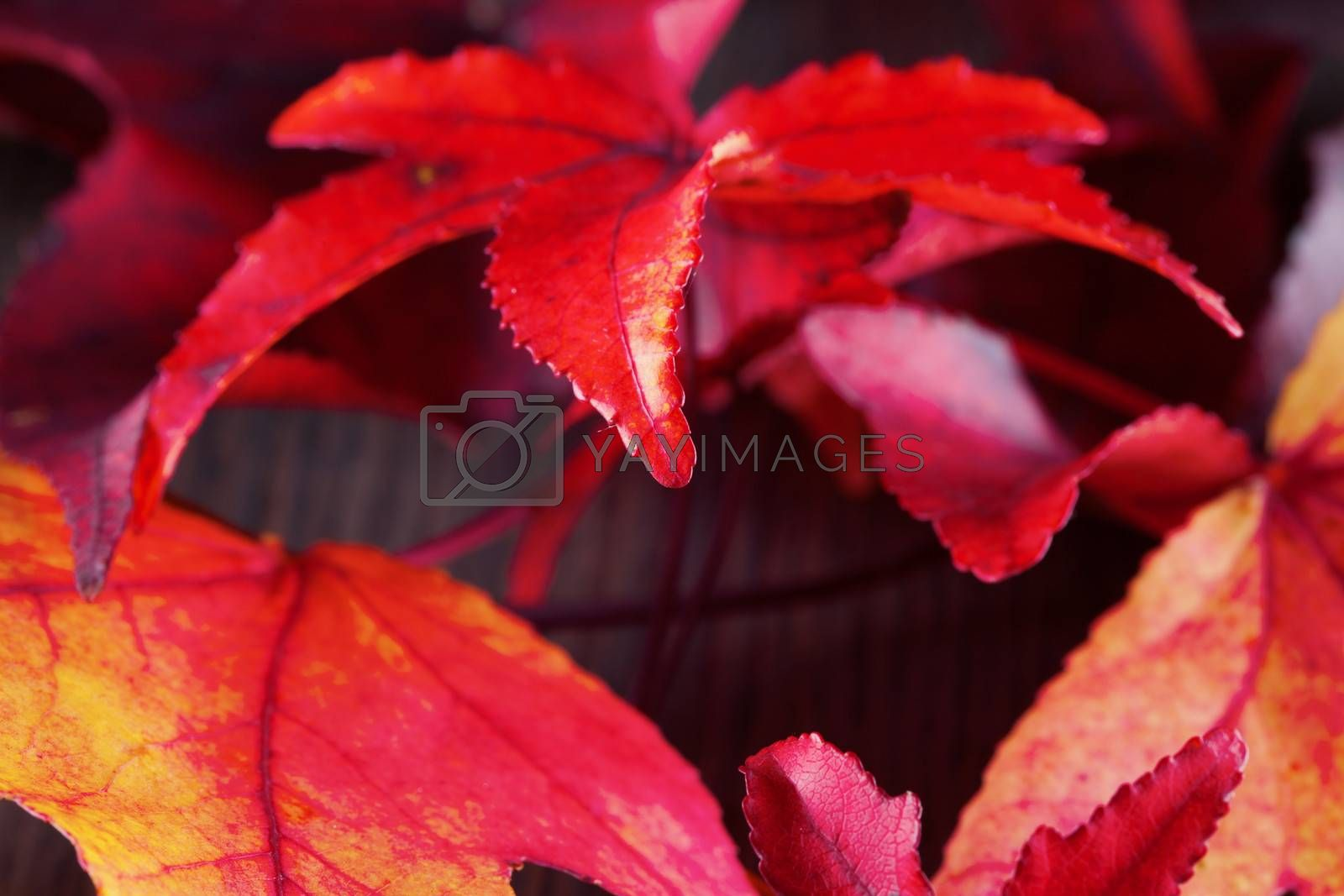 Autumn leaves of different colors over a dark wooden background
