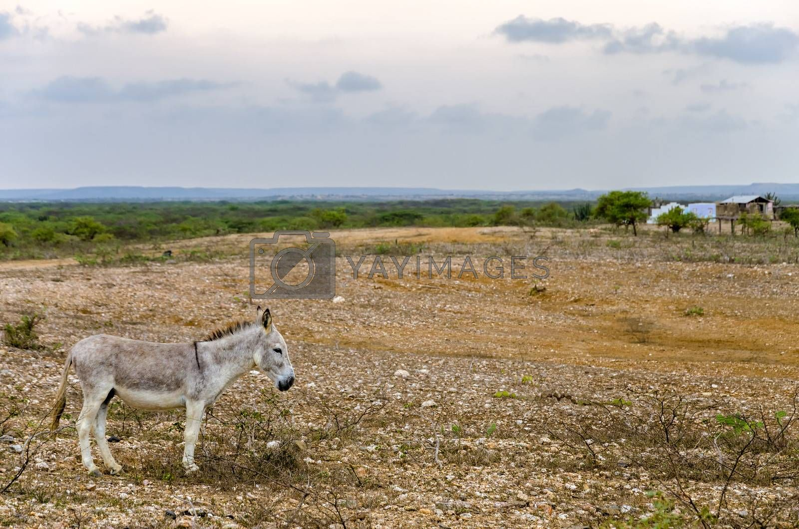 A grey donkey in a dry barren landscape