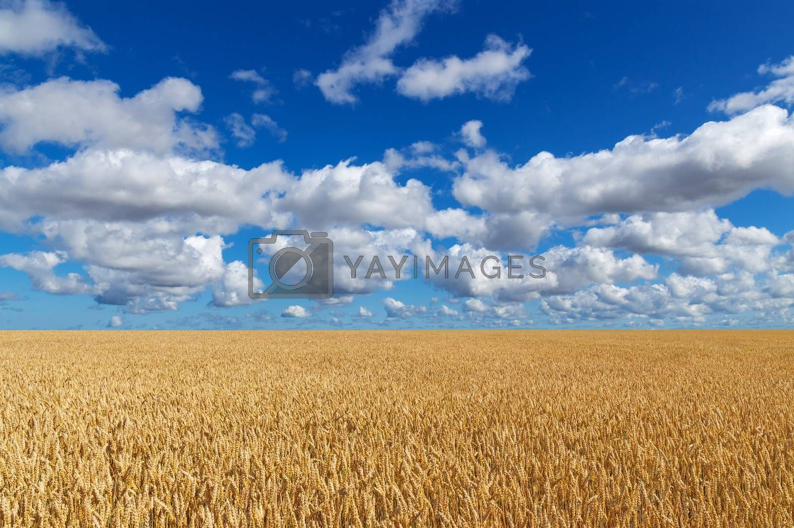Golden wheat field, under blue sky with clouds.