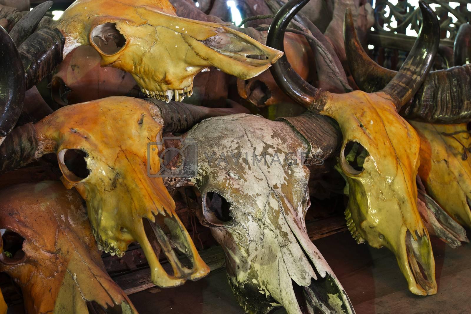 Buffalo skull and cow skull when useless