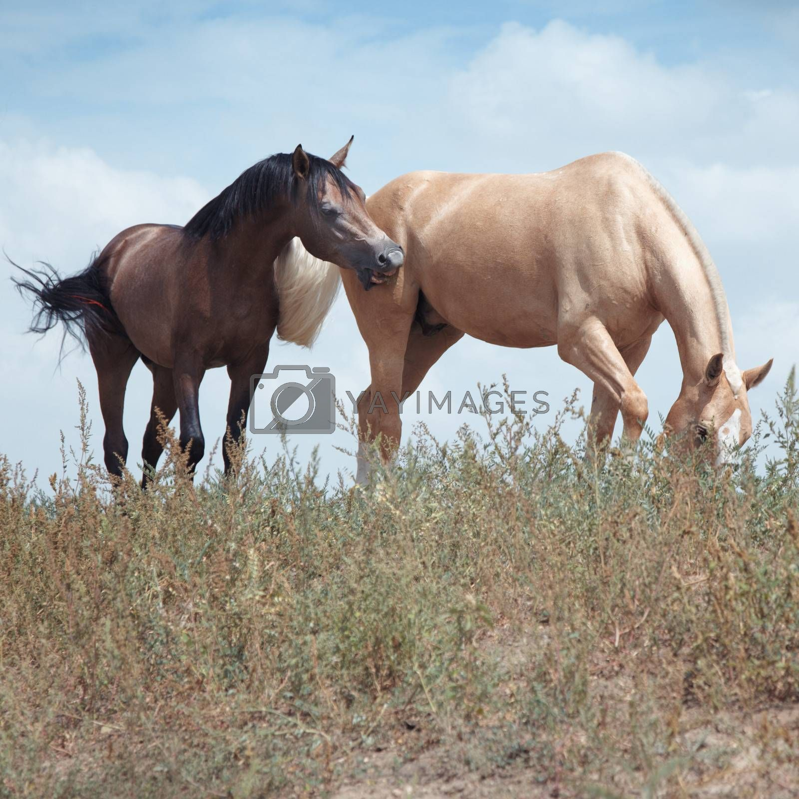 Two horses in the field. Natural colors and light