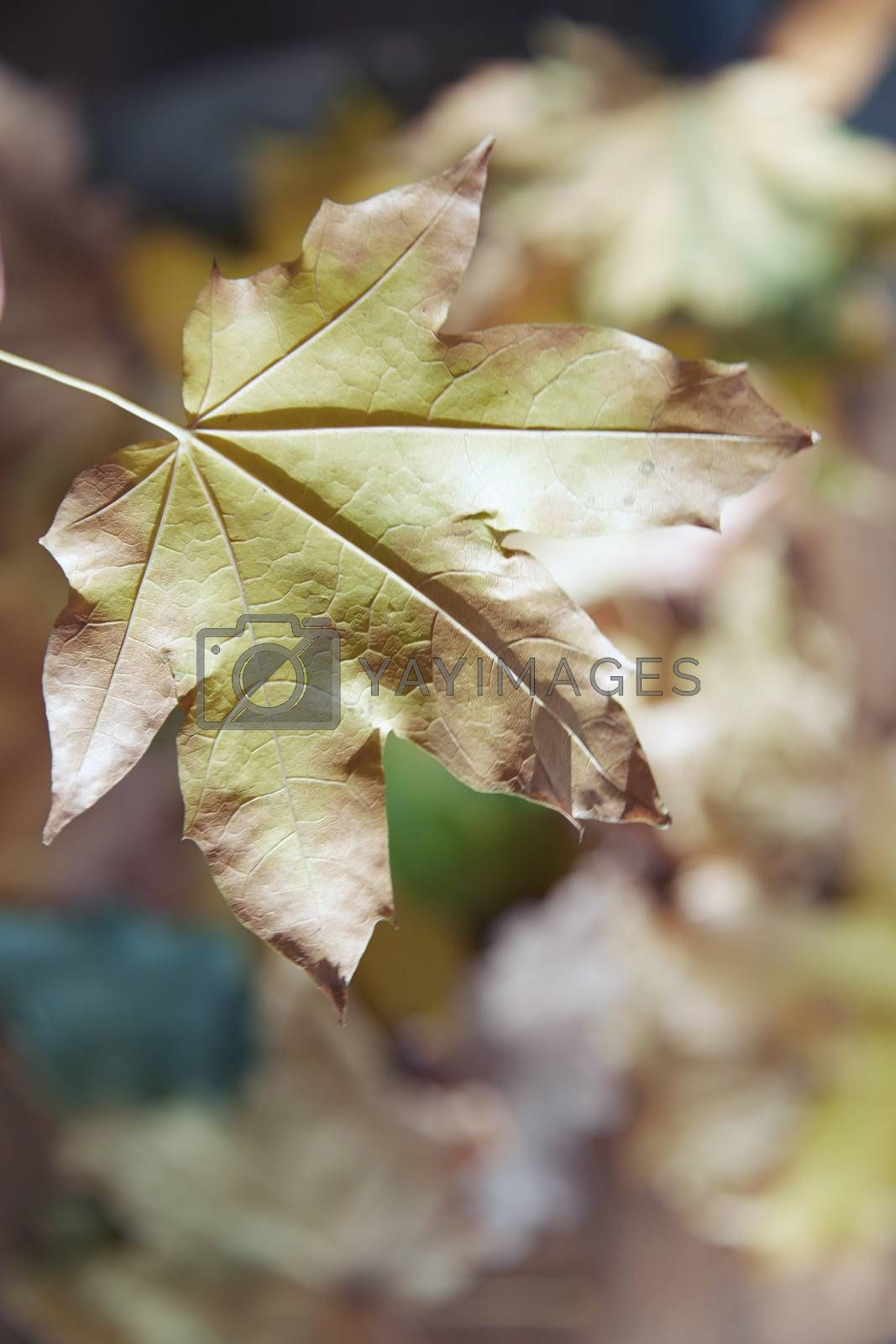 Close-up view on autumn leaf on defocused background