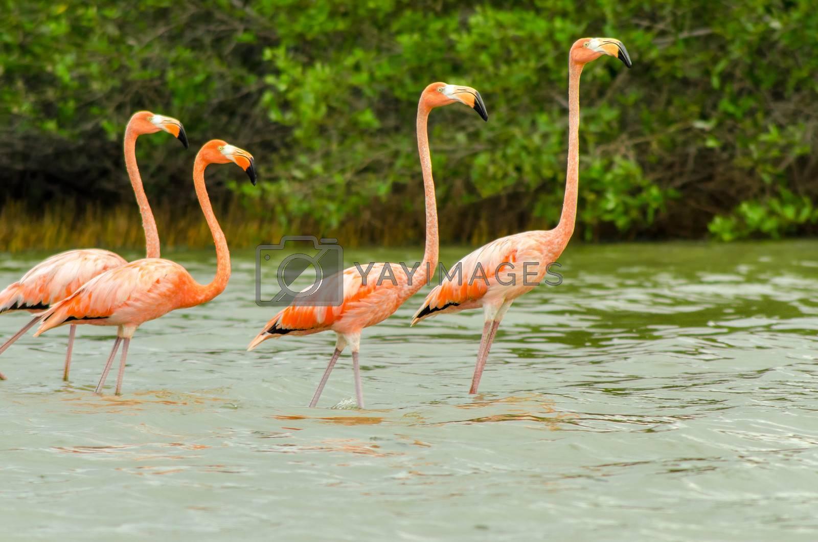 Four flamingos walking in shallow water in Camarones in La Guajira, Colombia