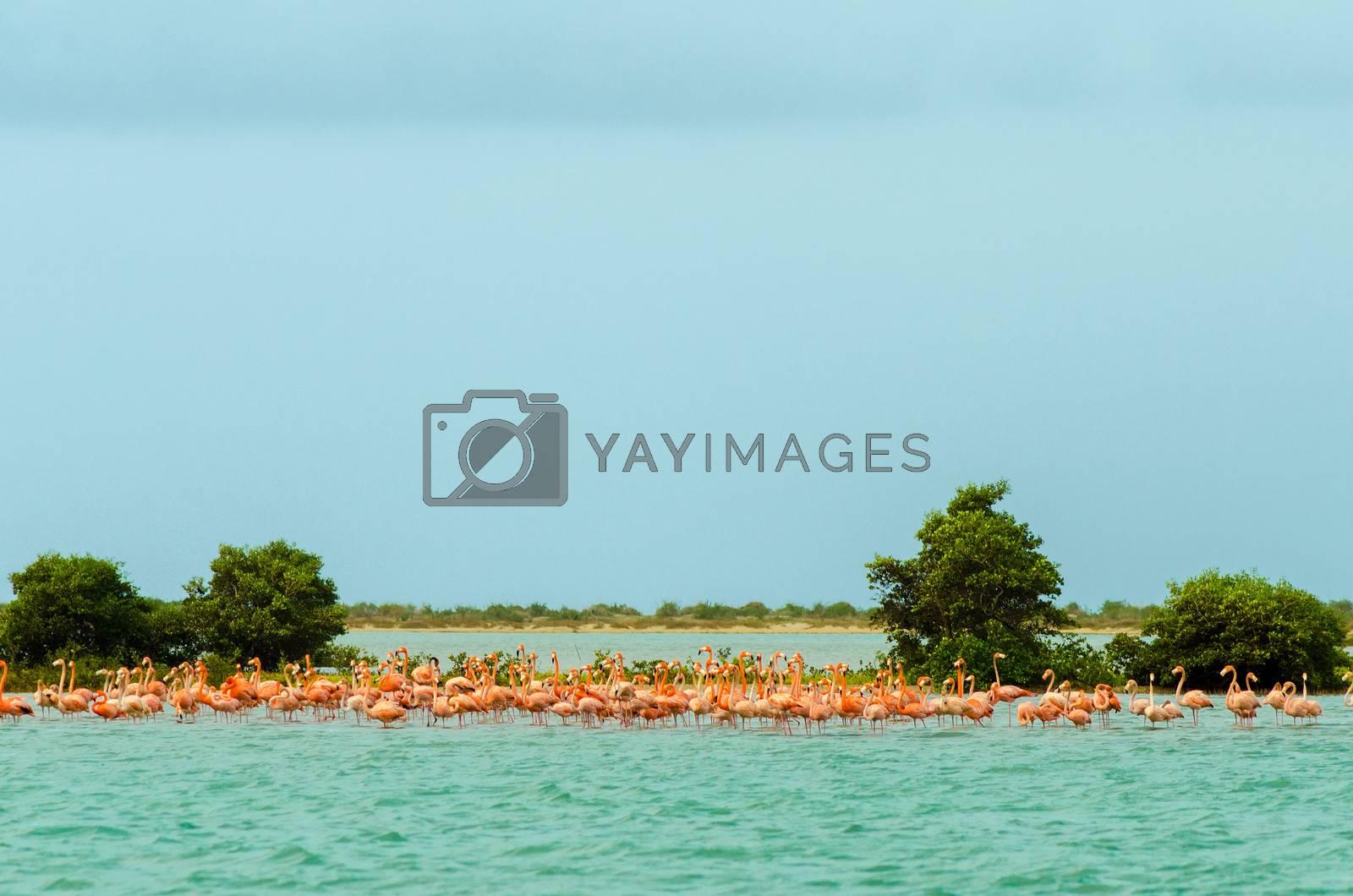 Large flock of flamingos in the Caribbean Sea in La Guajira, Colombia