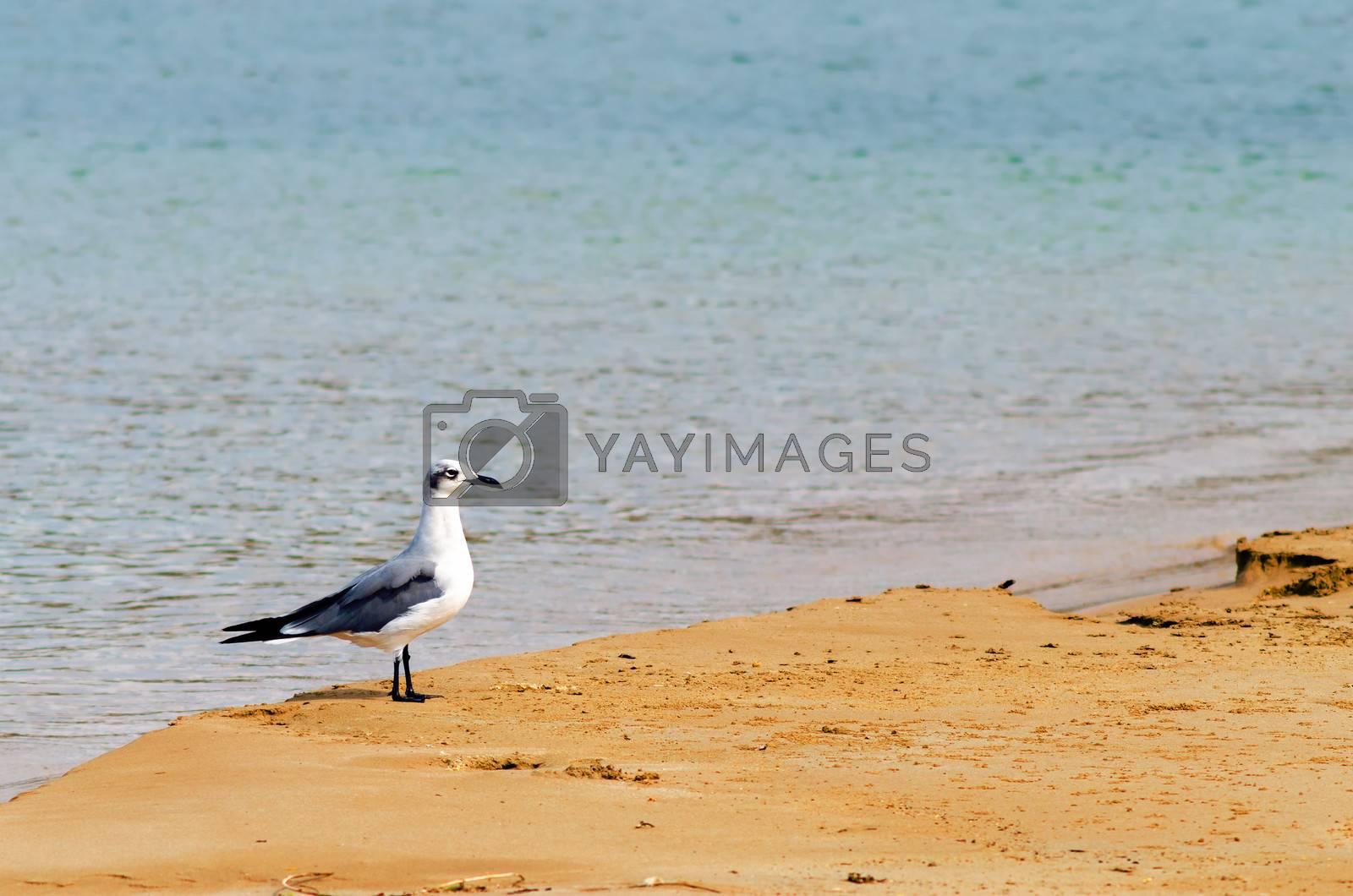 White and grey bird on a beach in la Guajira, Colombia
