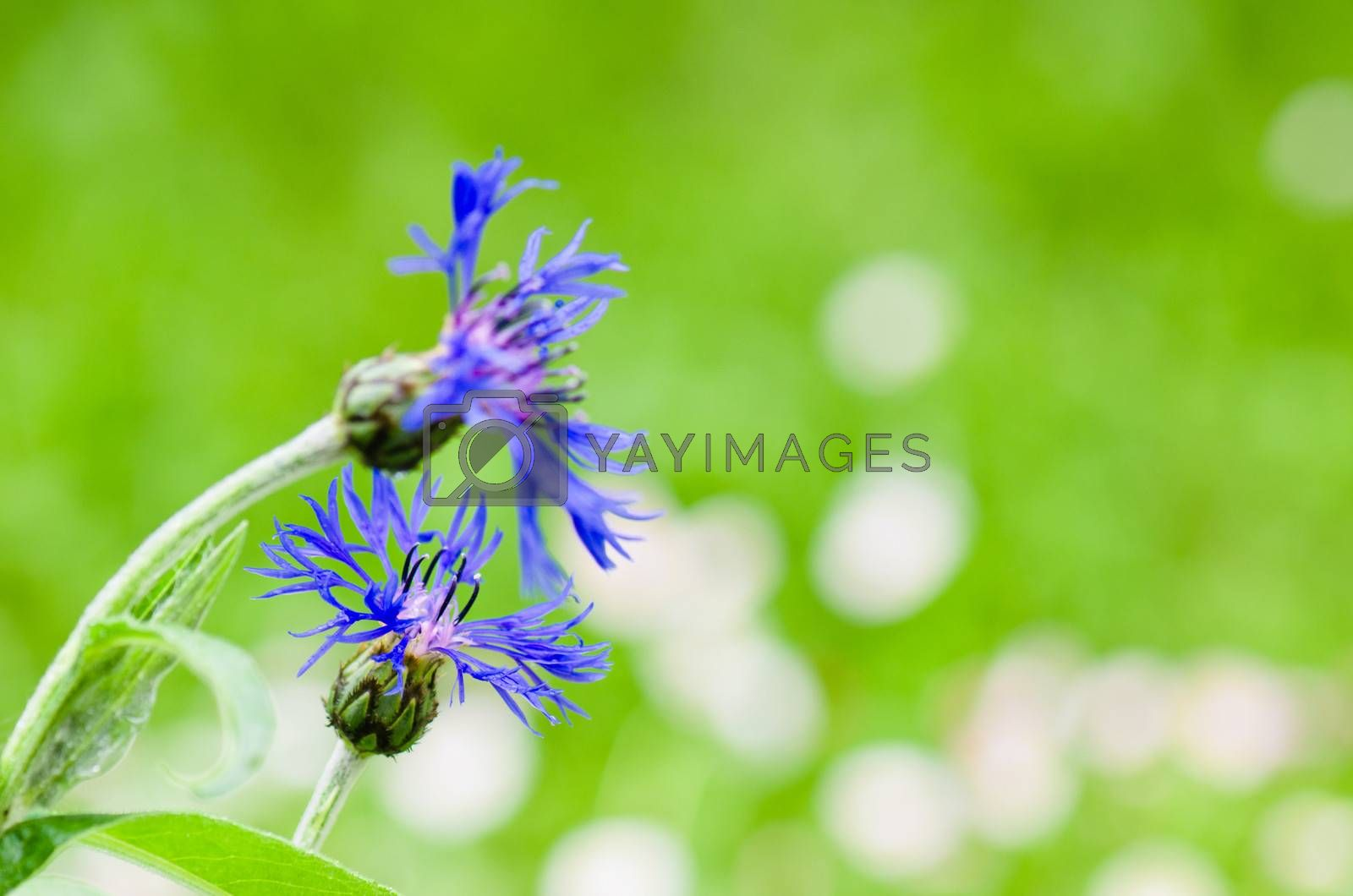 Beautiful cornflowers in the meadow, close-up