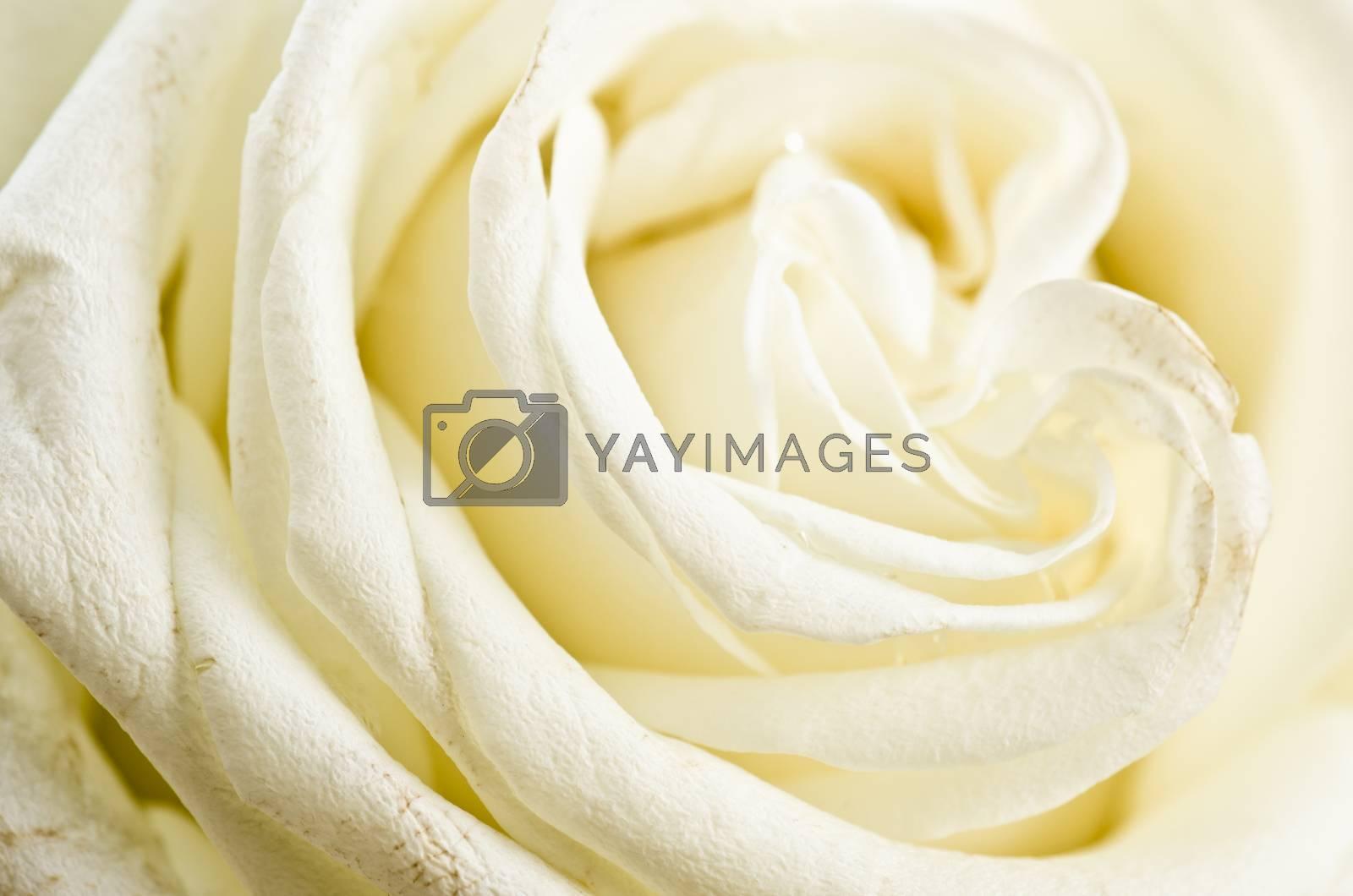 Petals of a white rose a close up