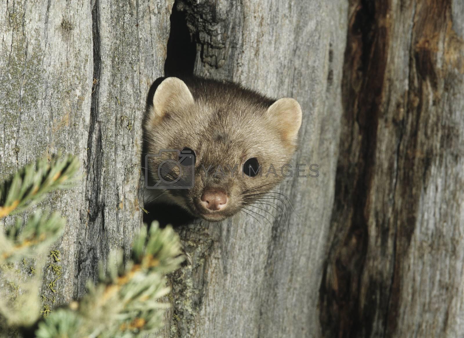 Weasel peeking from hollow tree