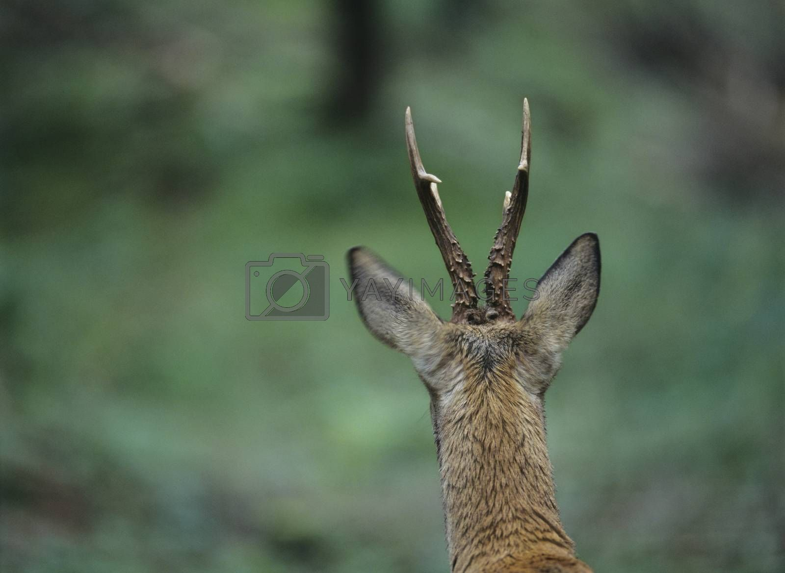 Young deer back view