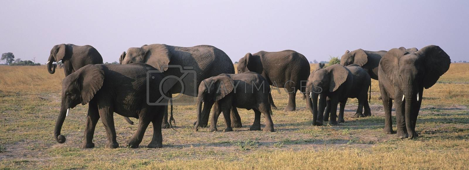 African Elephants (Loxodonta Africana) on savannah