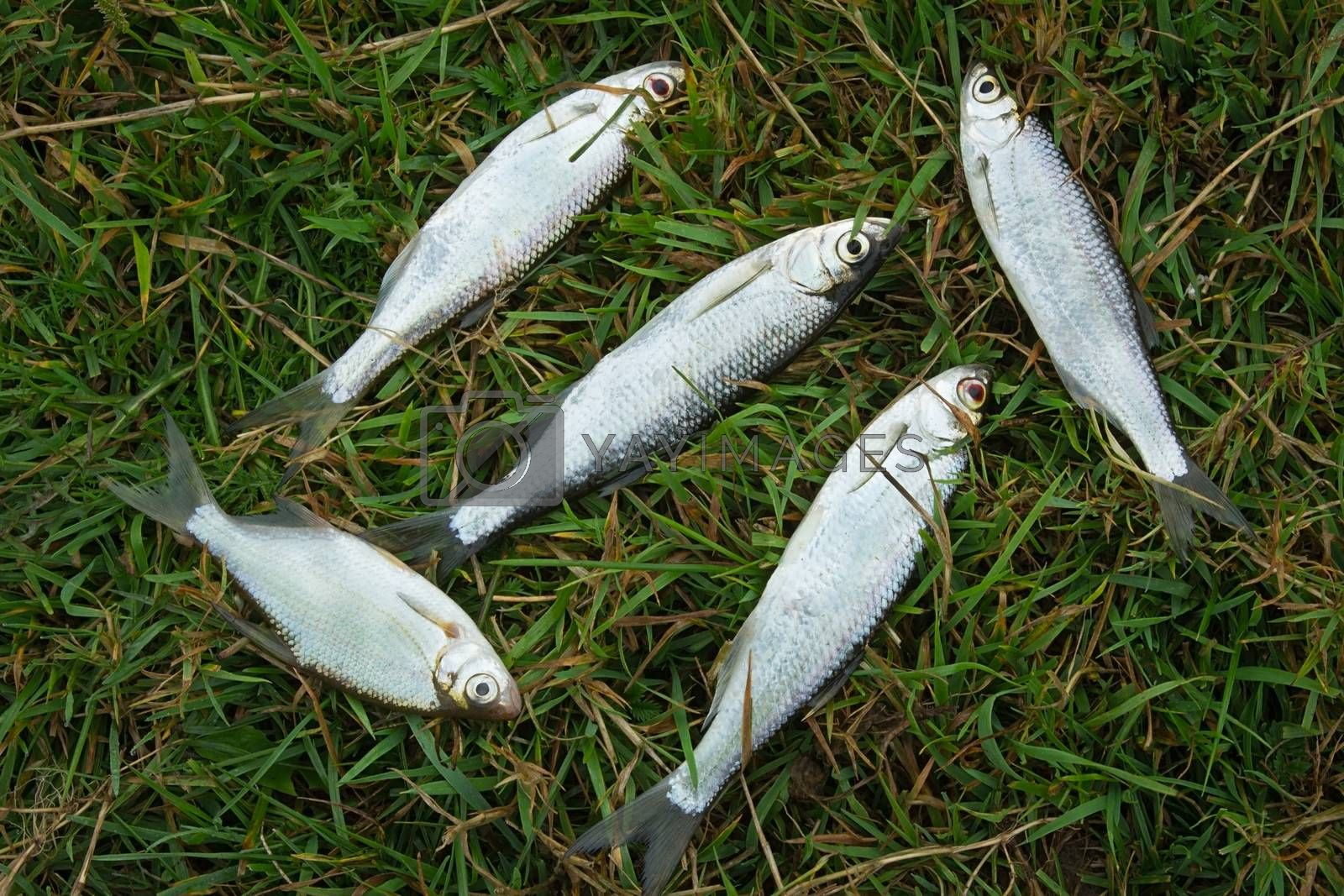 A few small fish caught in the river, lying on the Bank on the green grass.