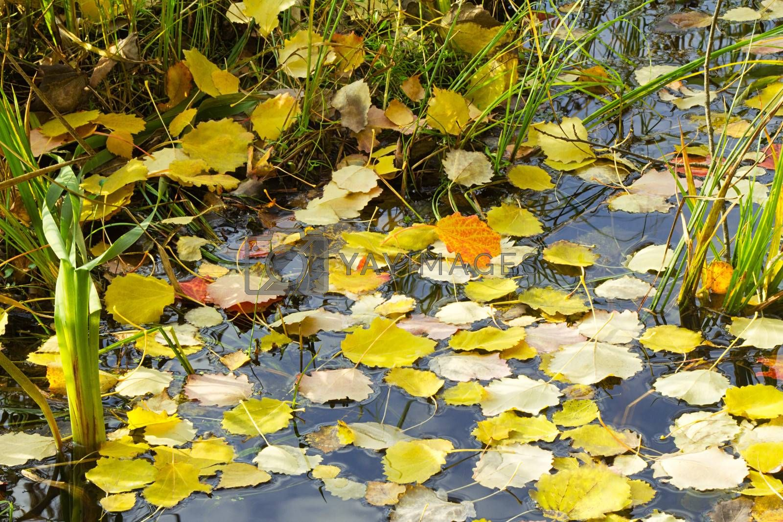 Autumn leaves, fallen from the trees on the shore of the lake lie on the surface of the water.