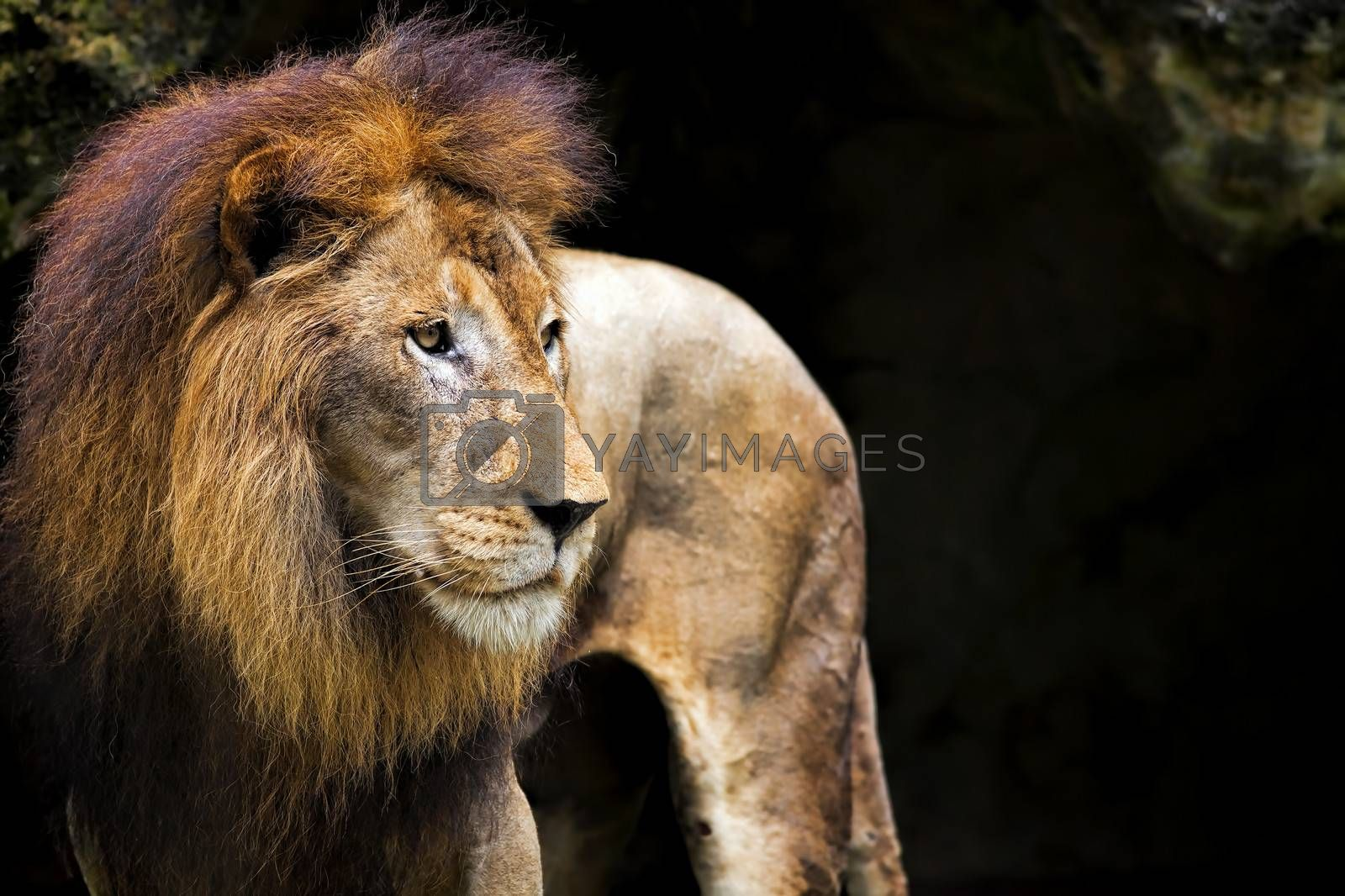 Side portrait of a Lion in Africa