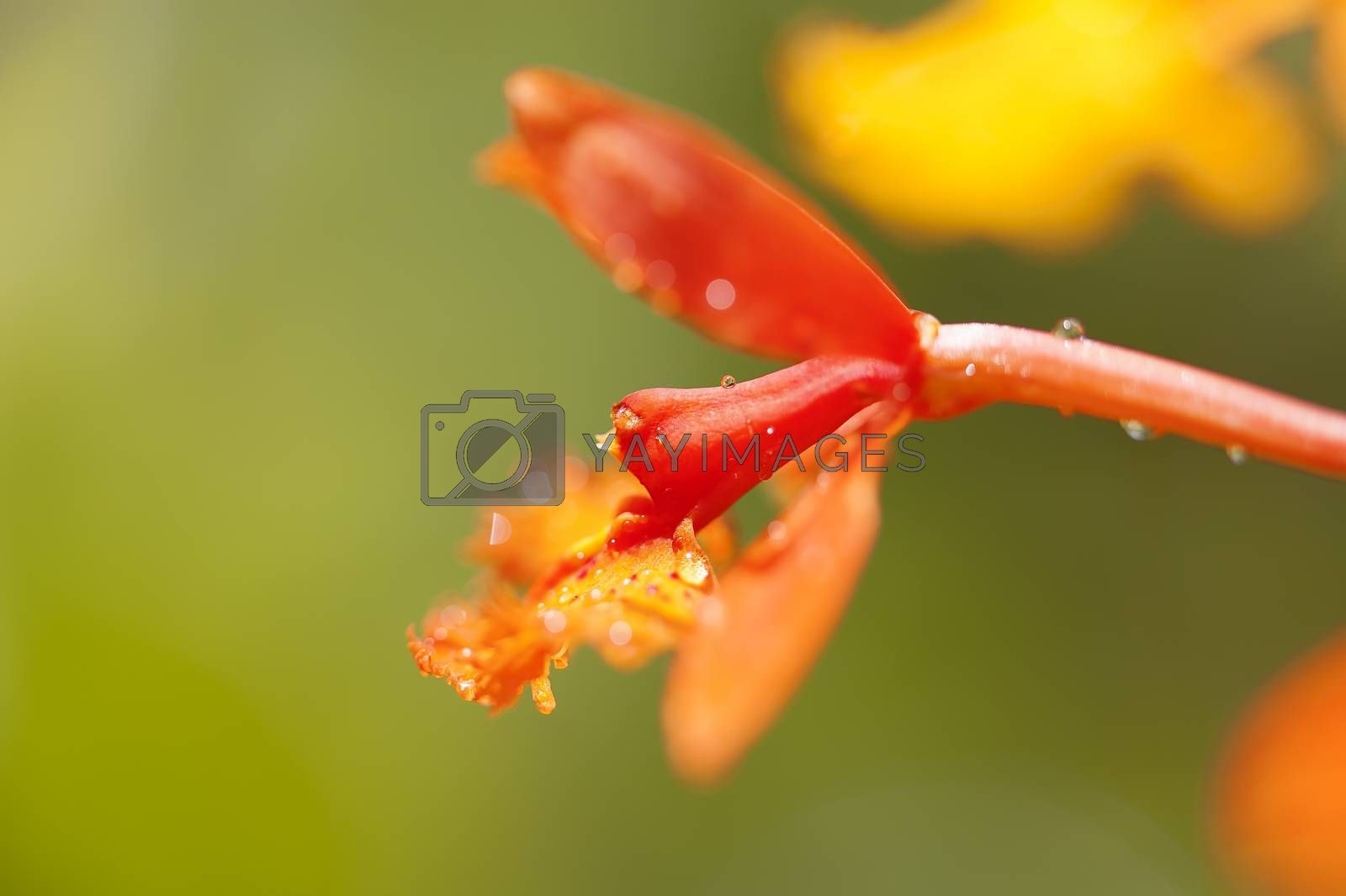 Close-up of a blooming orange orchid flower
