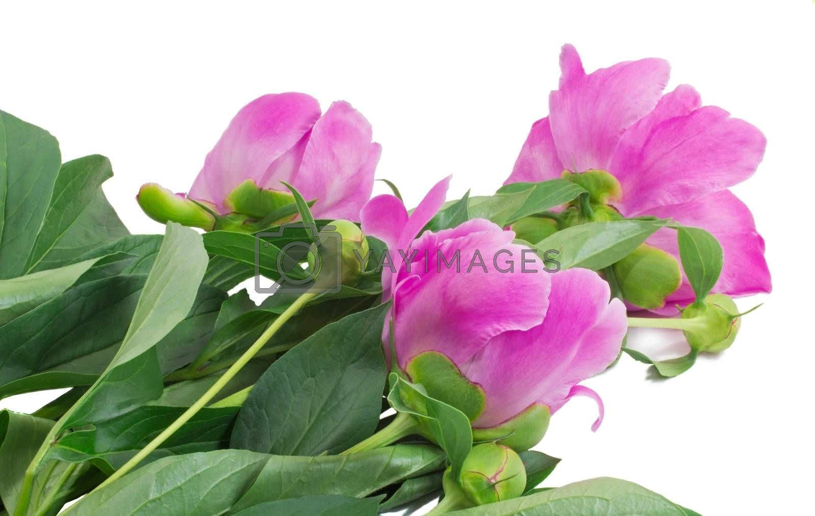 Bright - pink peony flowers with buds and green leaves. Presented on a white background.