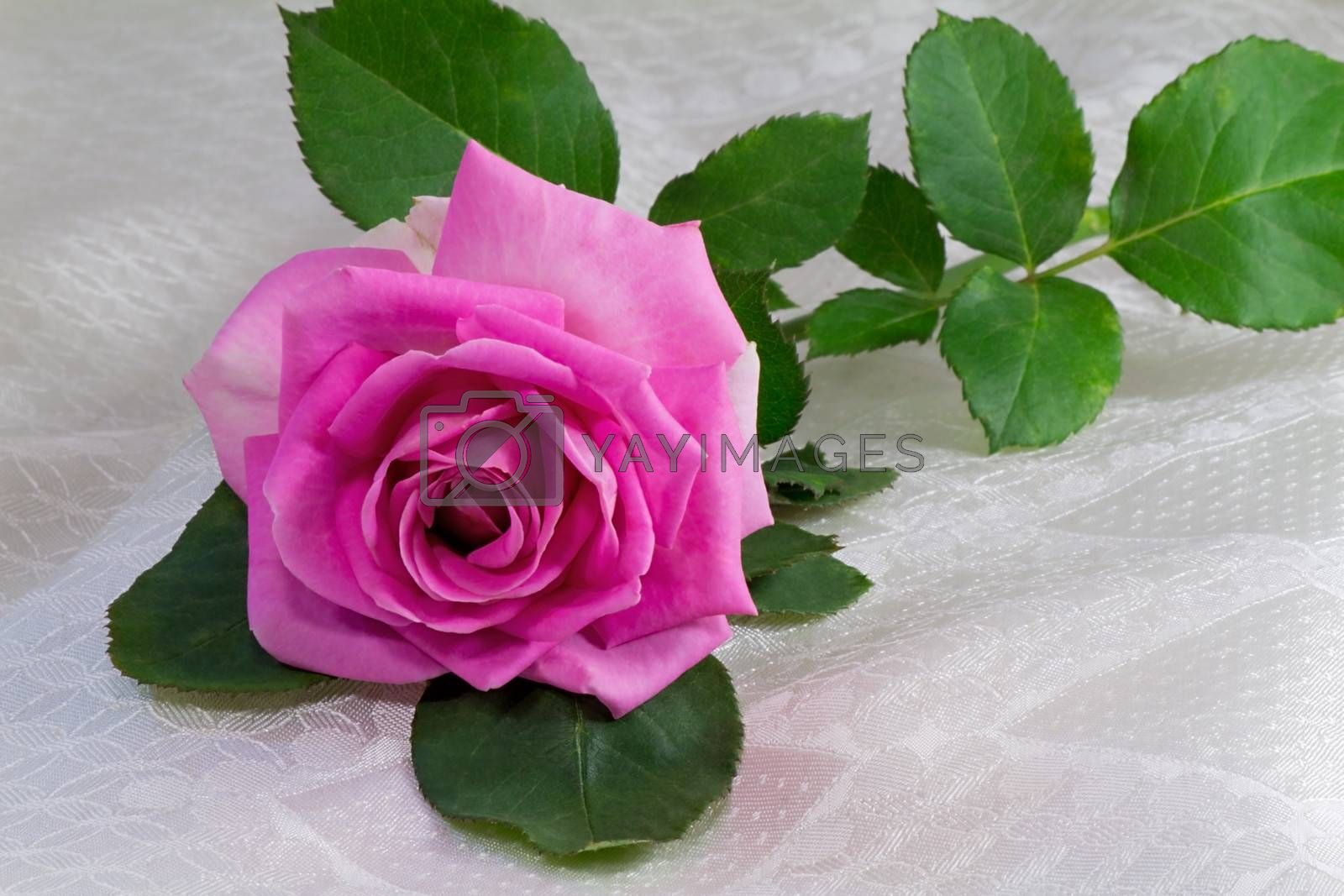 Big bright-pink rose garden with leaves lying on a white silk veil.