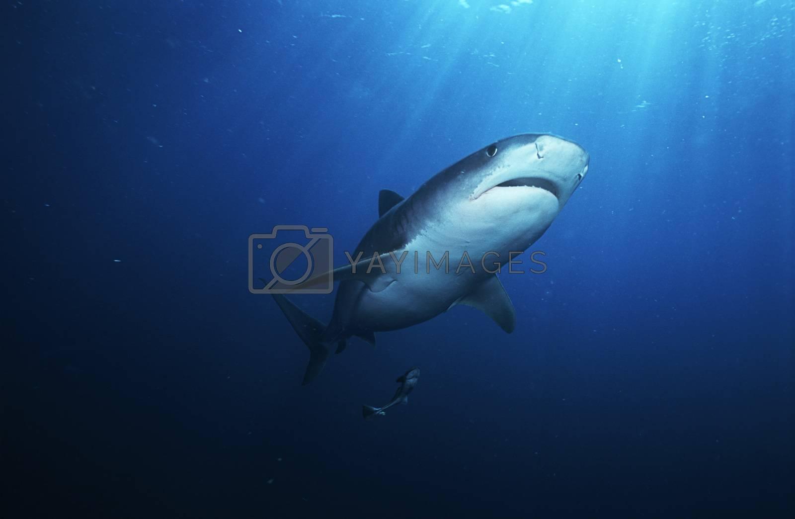 Tiger Shark (galelcerdo cuvieri) underwater view