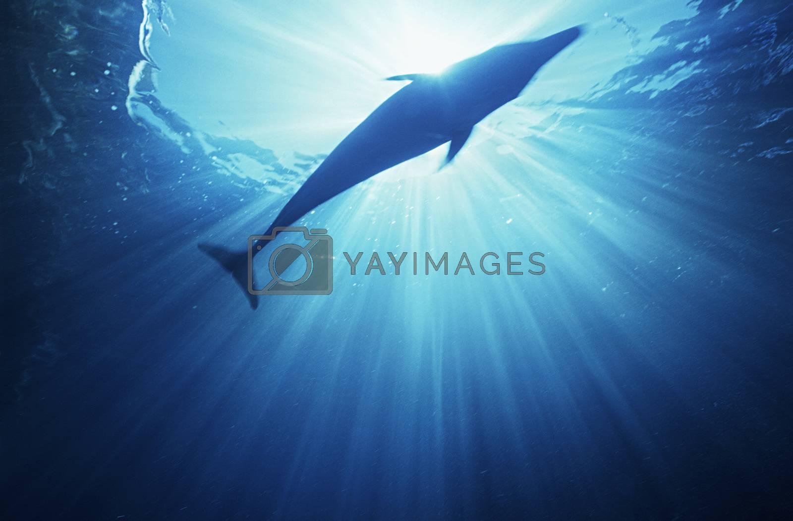 Bottlenose dolphin (tursiops truncatus) underwater view