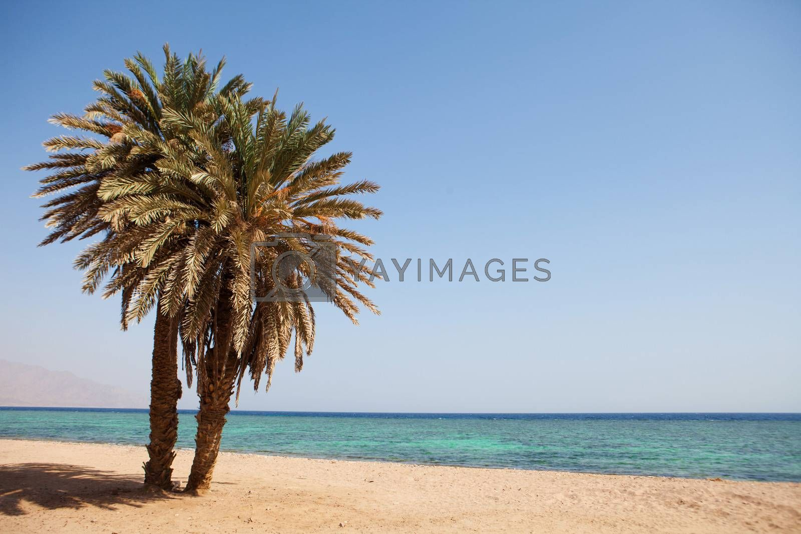 two palms on the beach