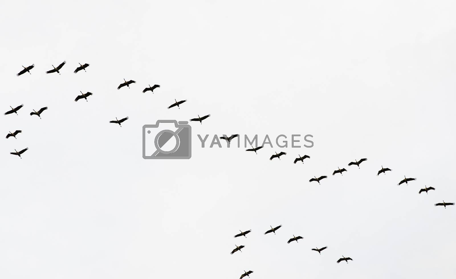 A flock of flying cranes in the sky