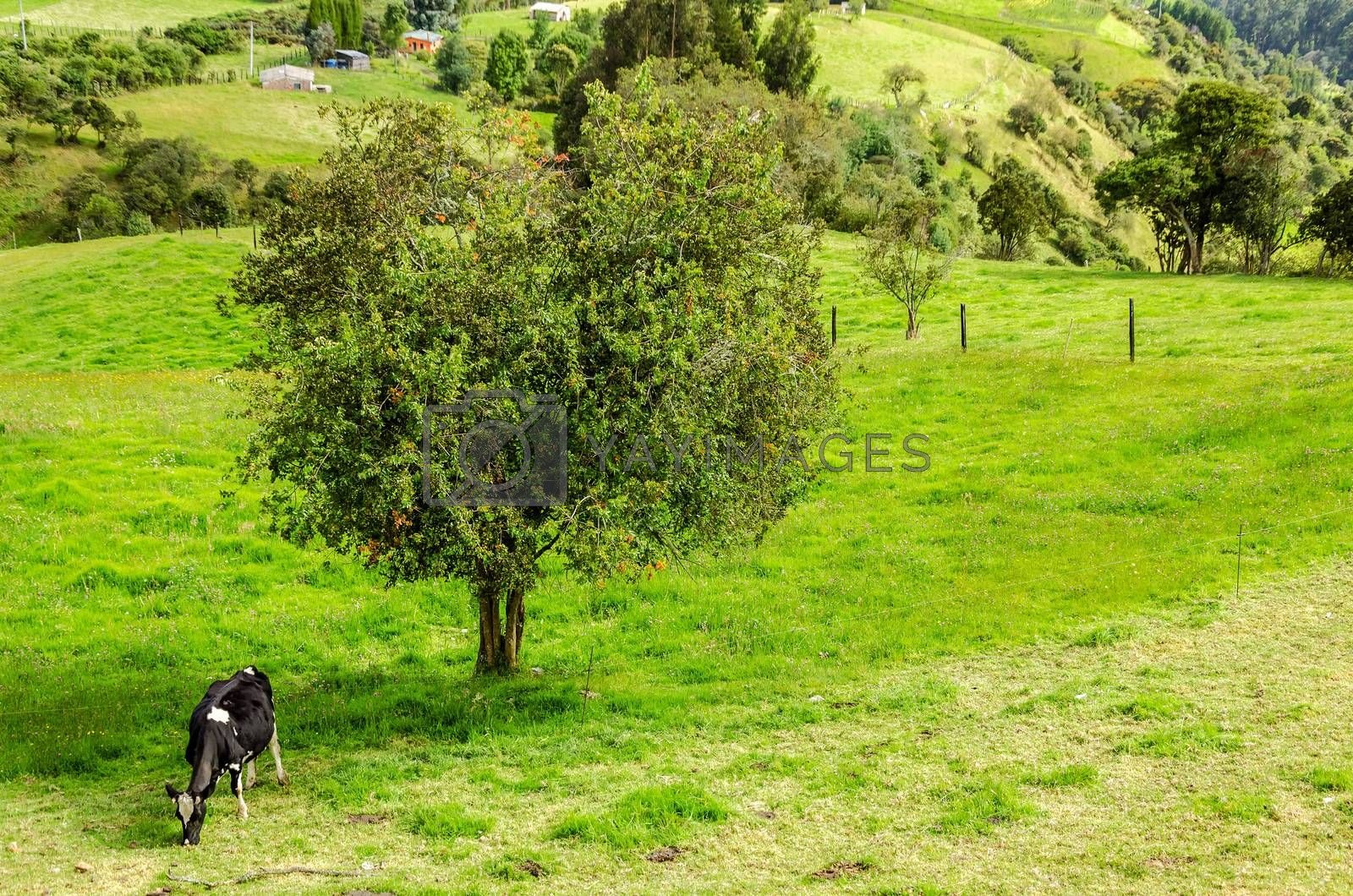 A lone cow and tree in the Colombian countryside in Cundinamarca, Colombia