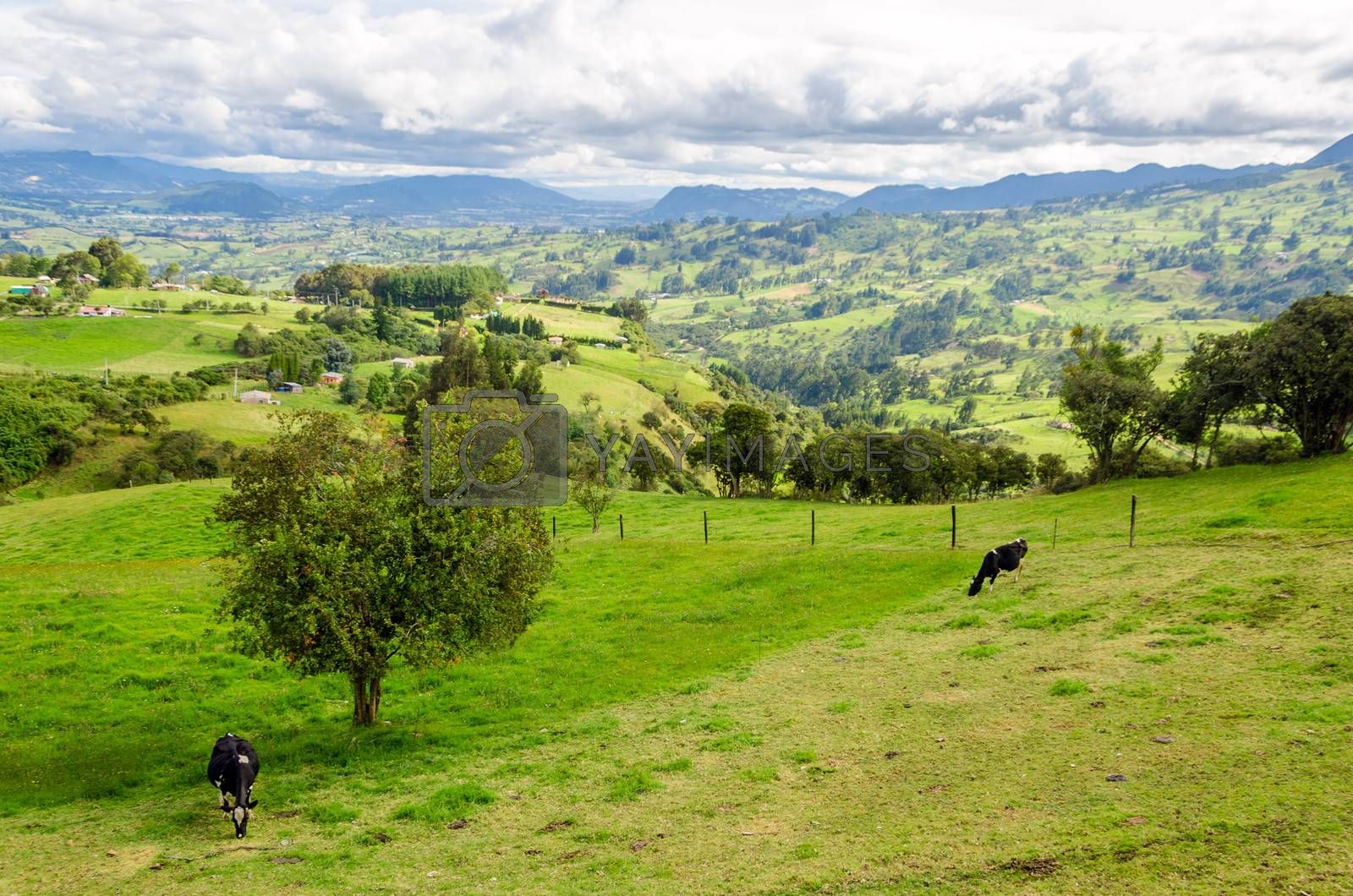 Royalty free image of Landscape and Cows by jkraft5