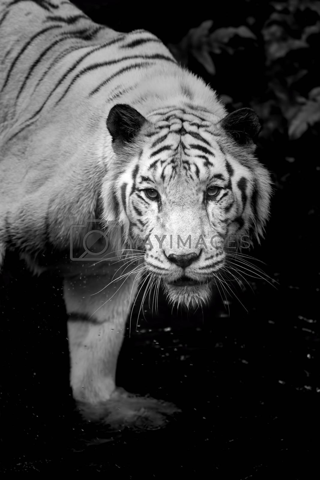 Black and white portrait of a White Tiger