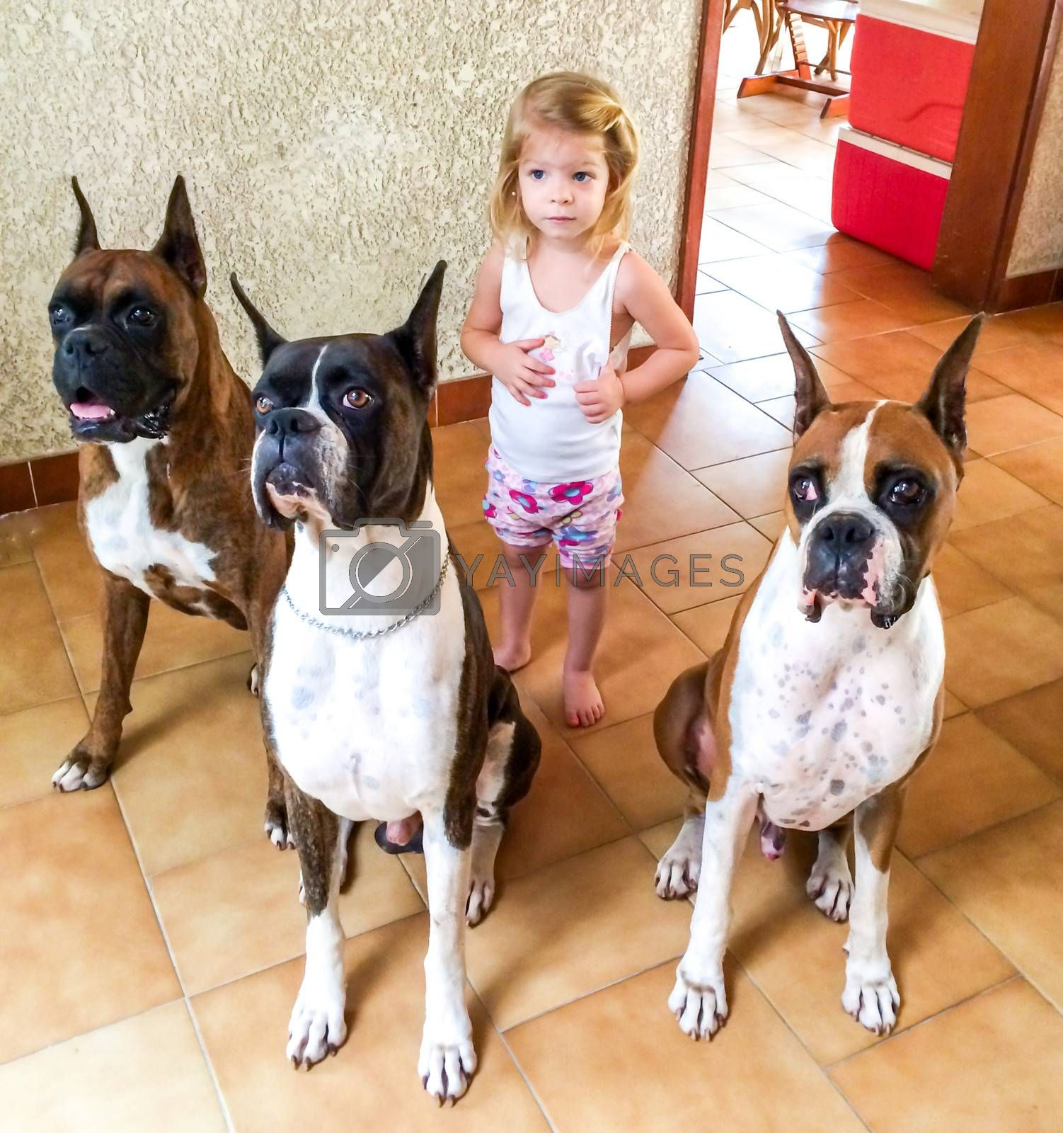 Cute child playing with her three boxer dogs