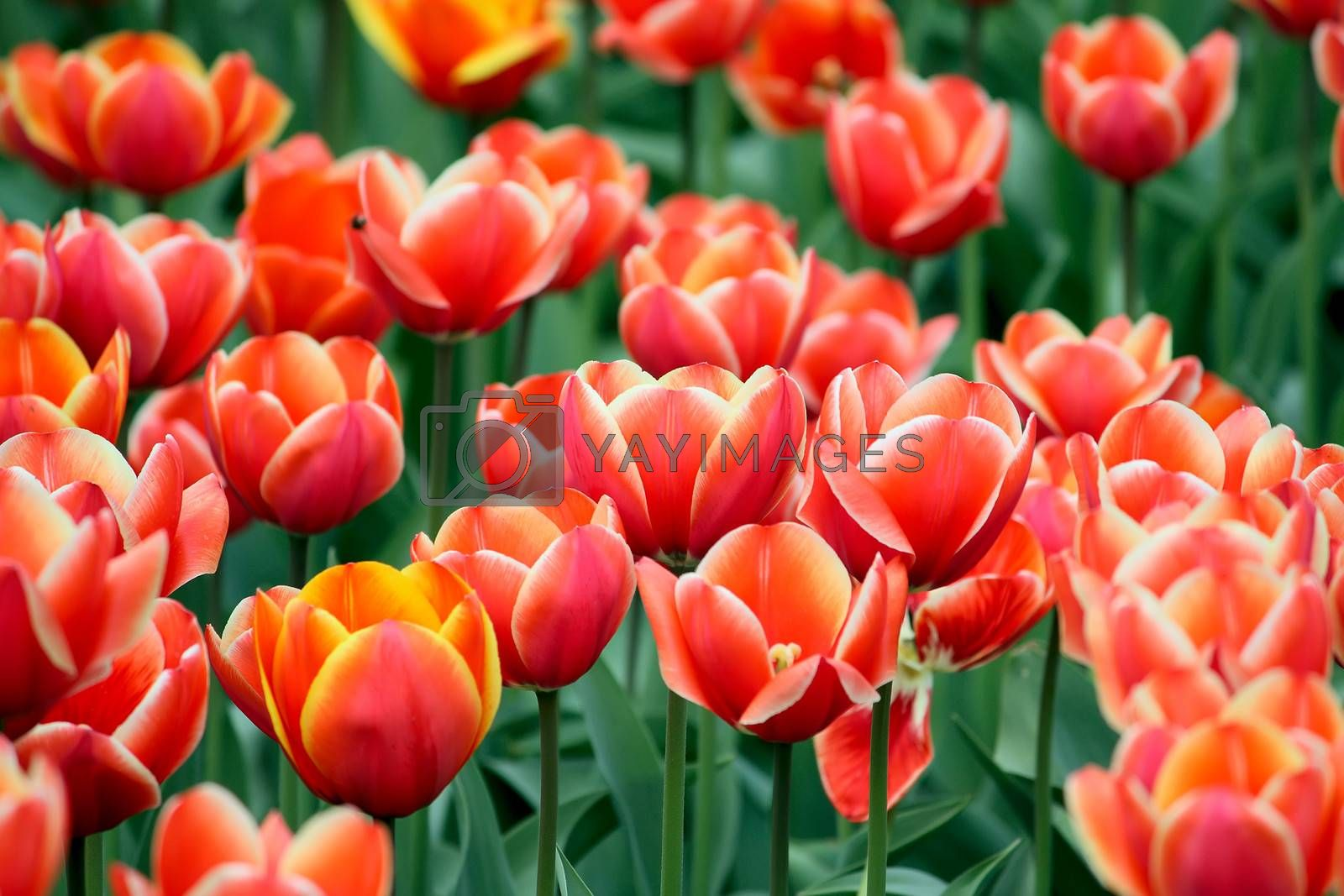 A lot of red tulips and some yellow among them