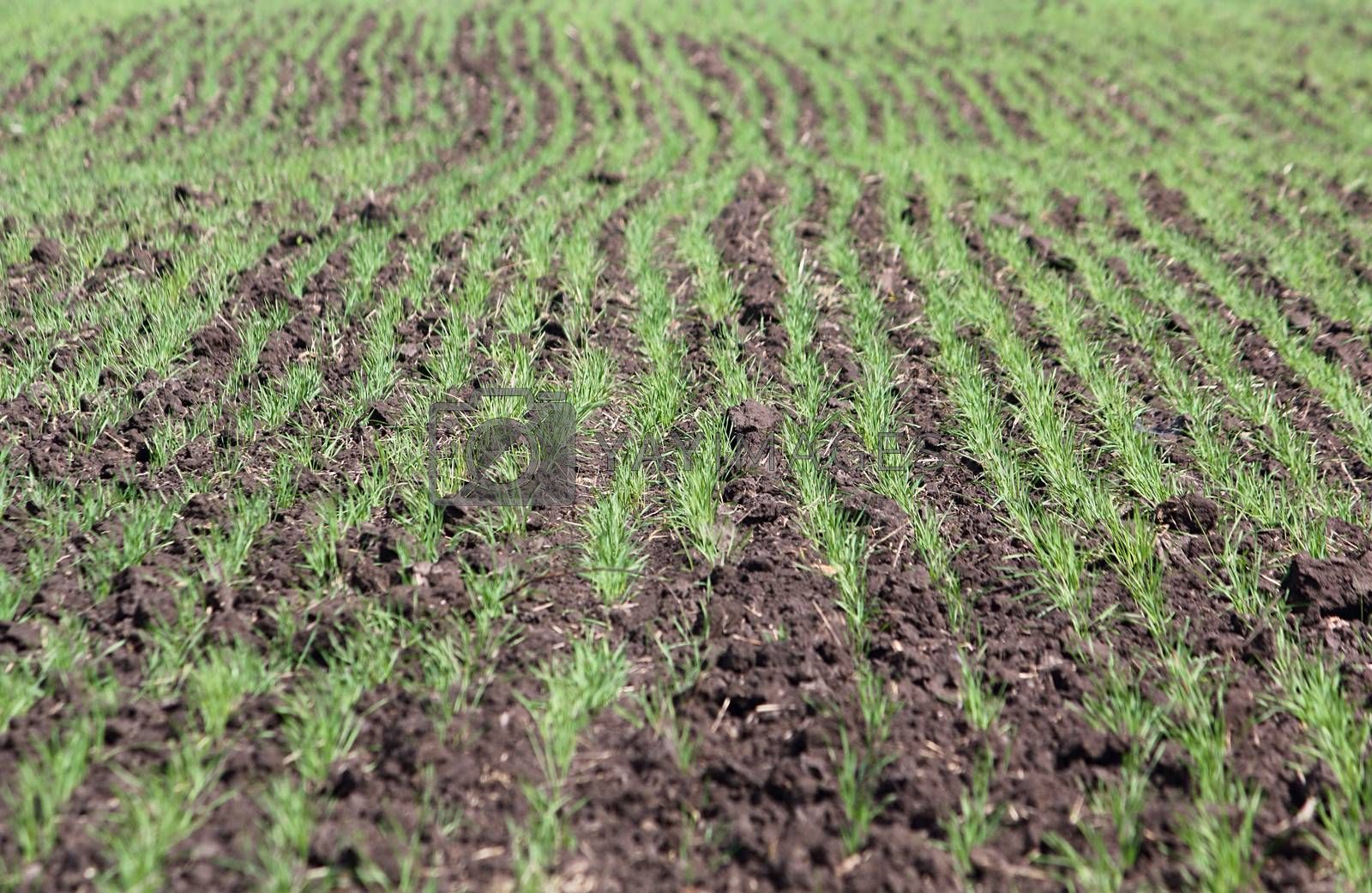 Field with a little green sprouts