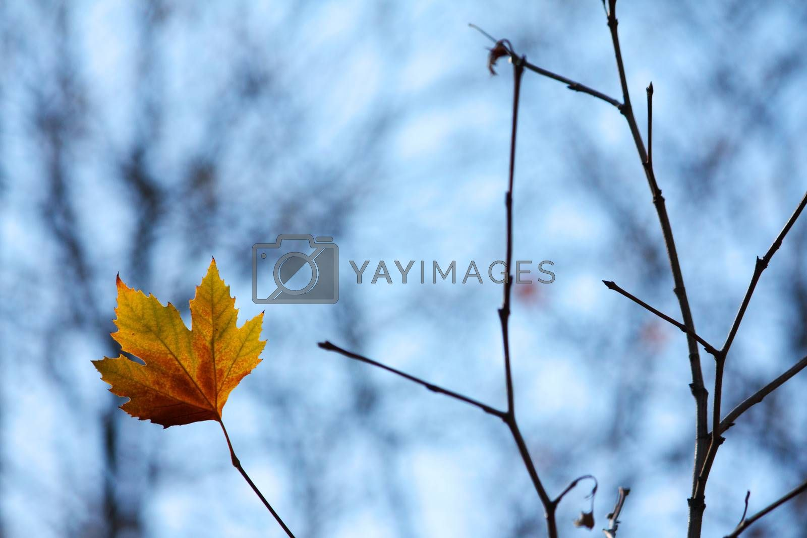 Lonely maple leaf on a brench
