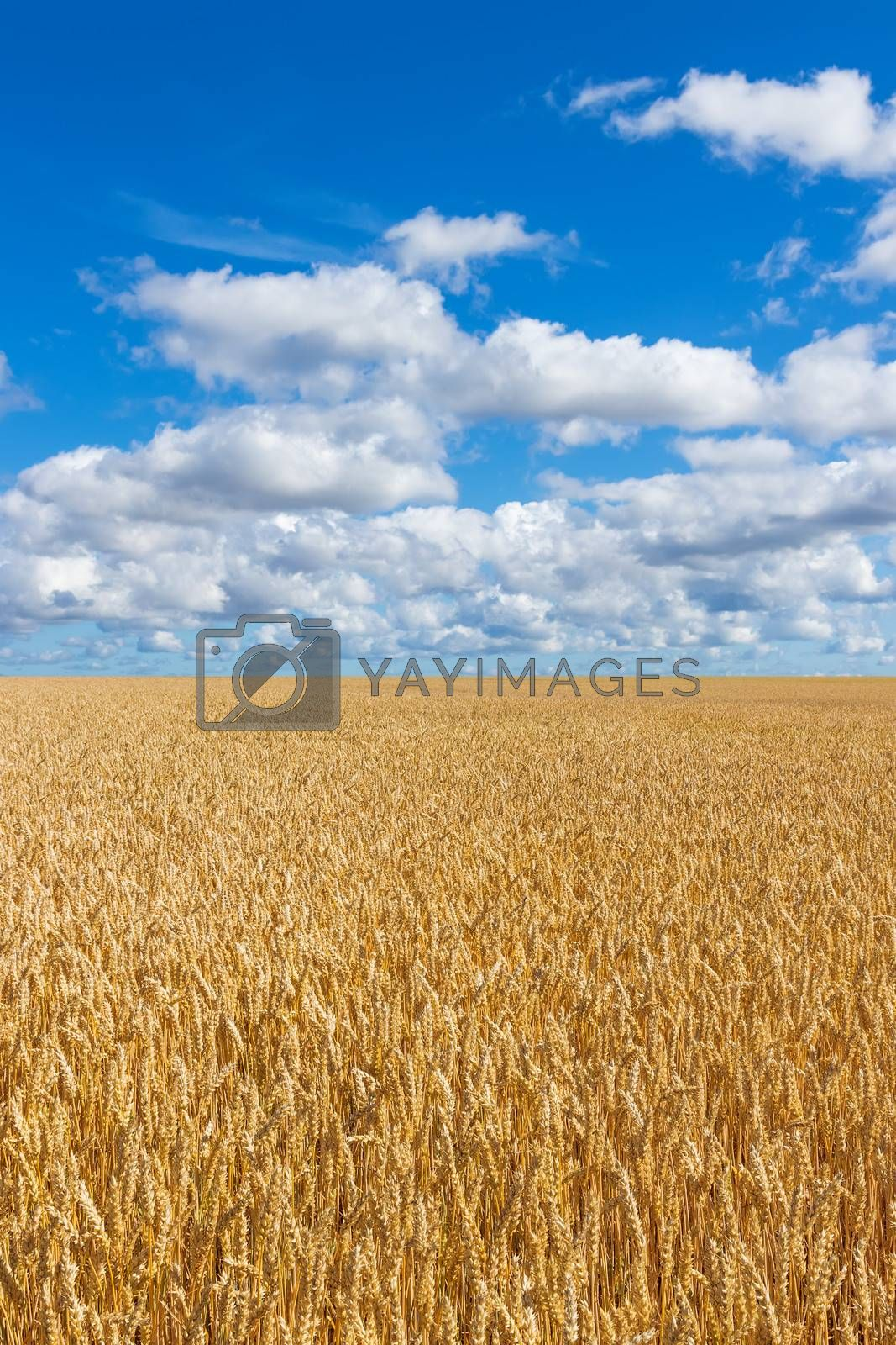 Rural landscape. Golden wheat field under blue sky with clouds.