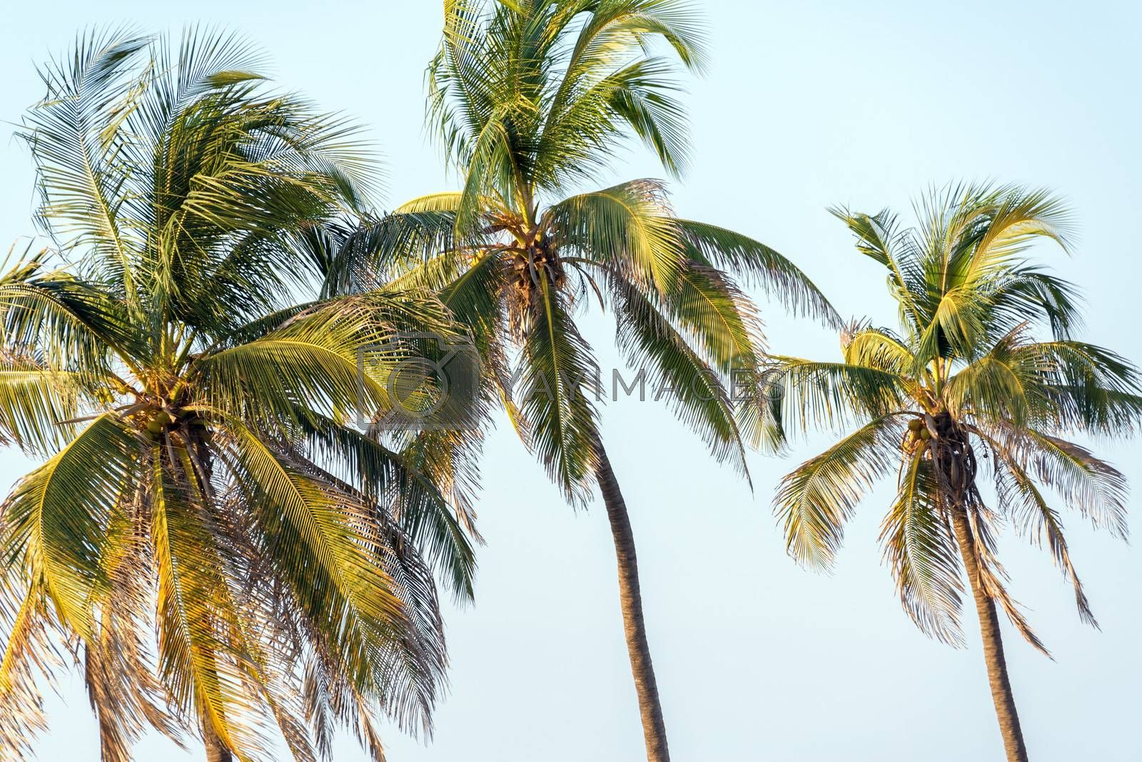 Three palm trees in Cartagena, Colombia
