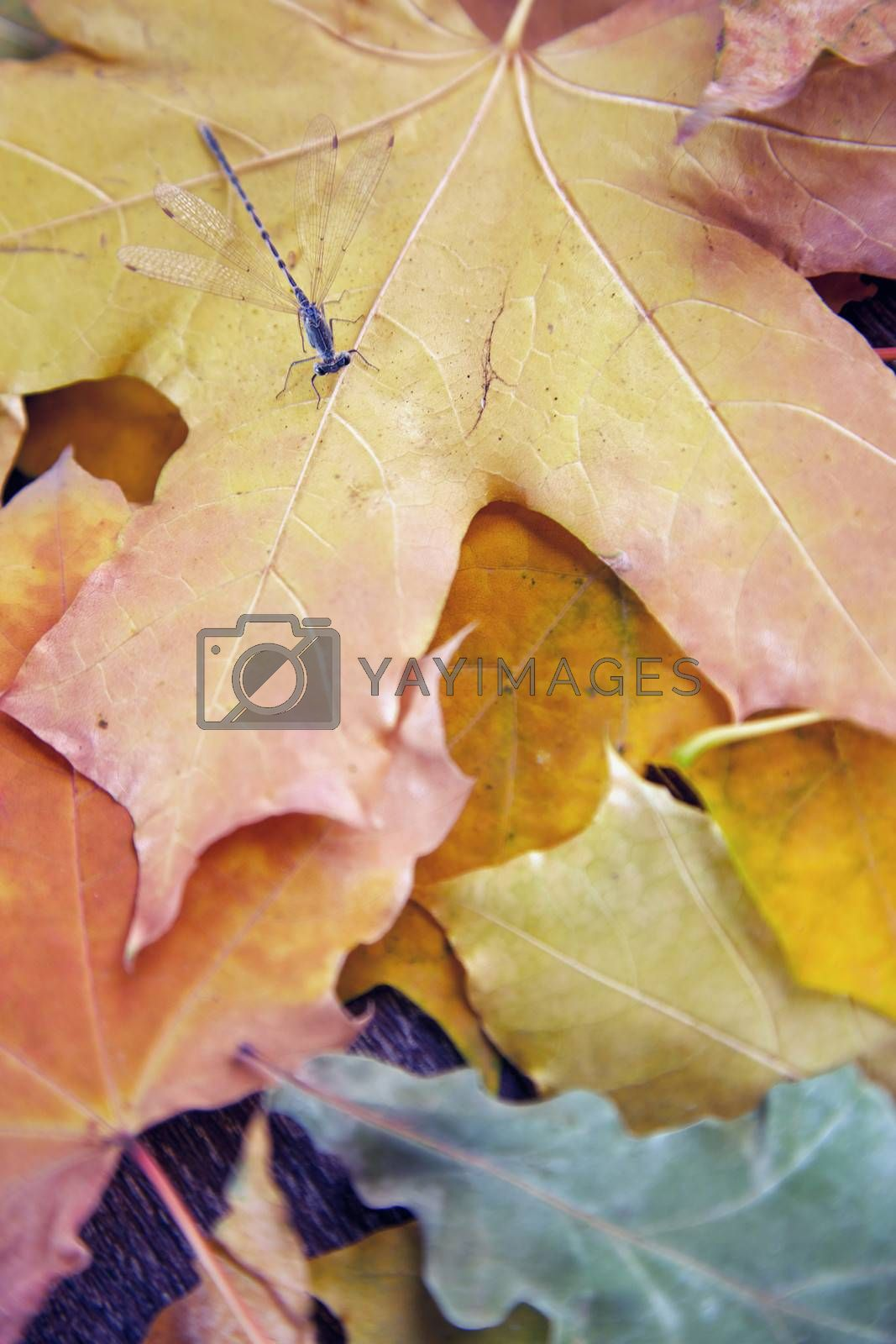 Close-up view on a dragonfly with autumn leaves